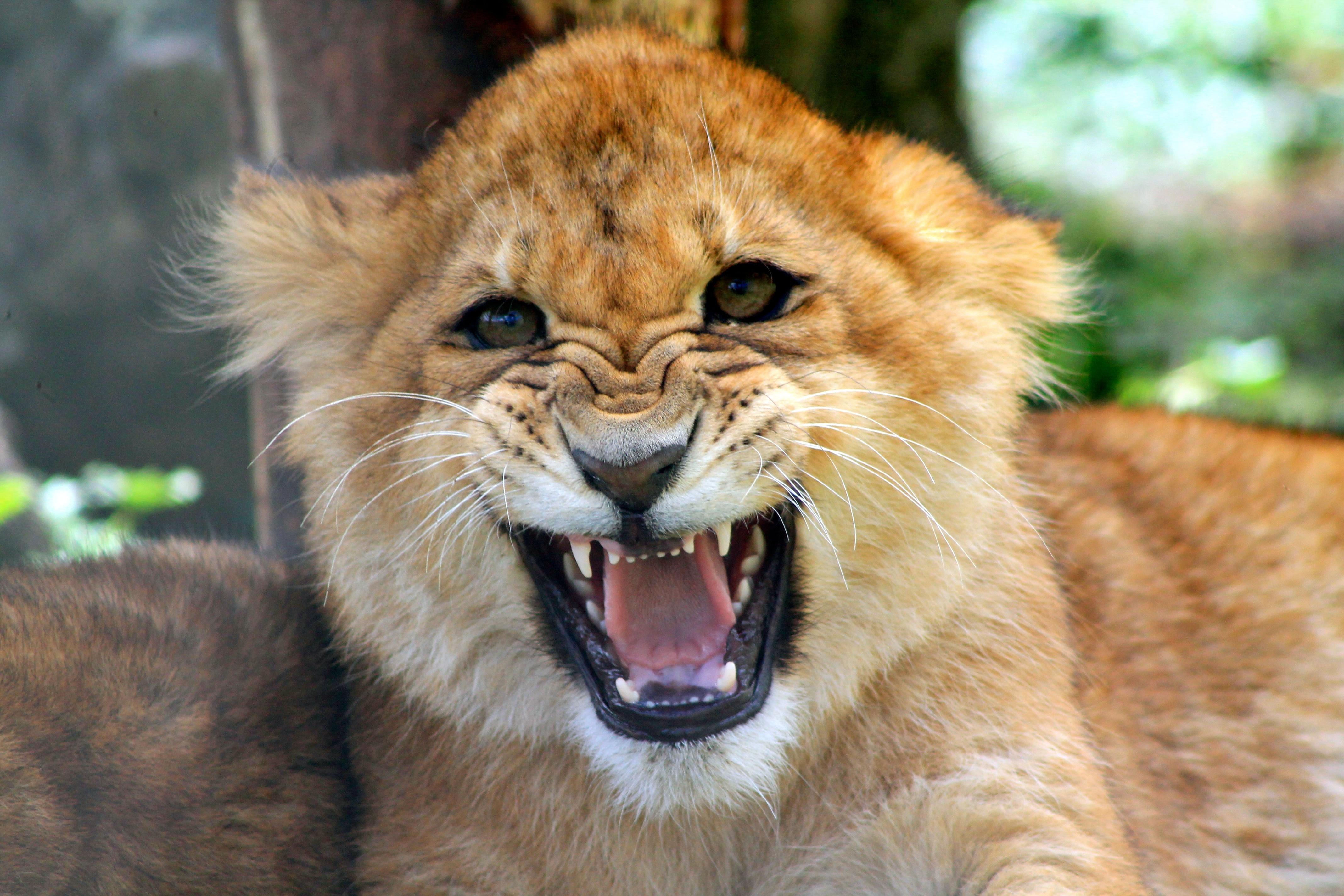 Cachorro león rugiendo - 4272x2848