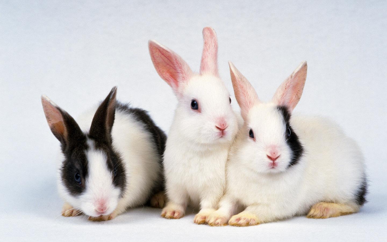 Conejos blancos - 1440x900
