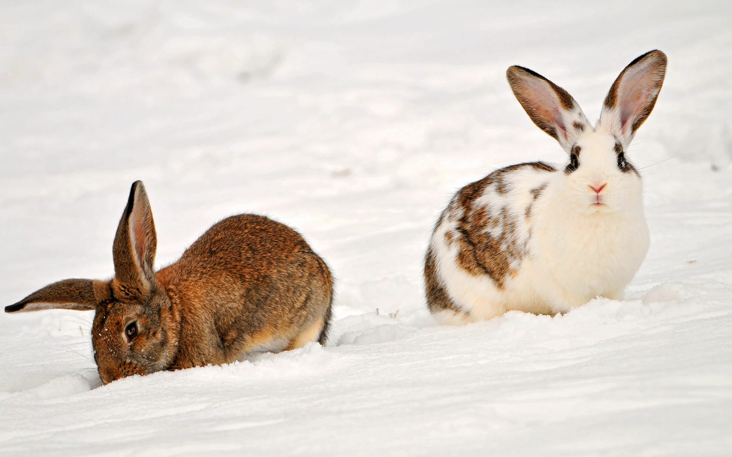 Conejos en la nieve - 2560x1600