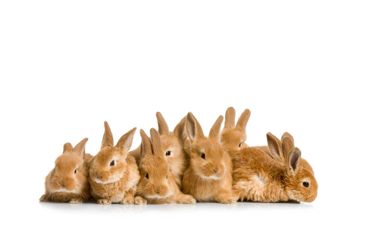 Conejos marrones - 1280x800