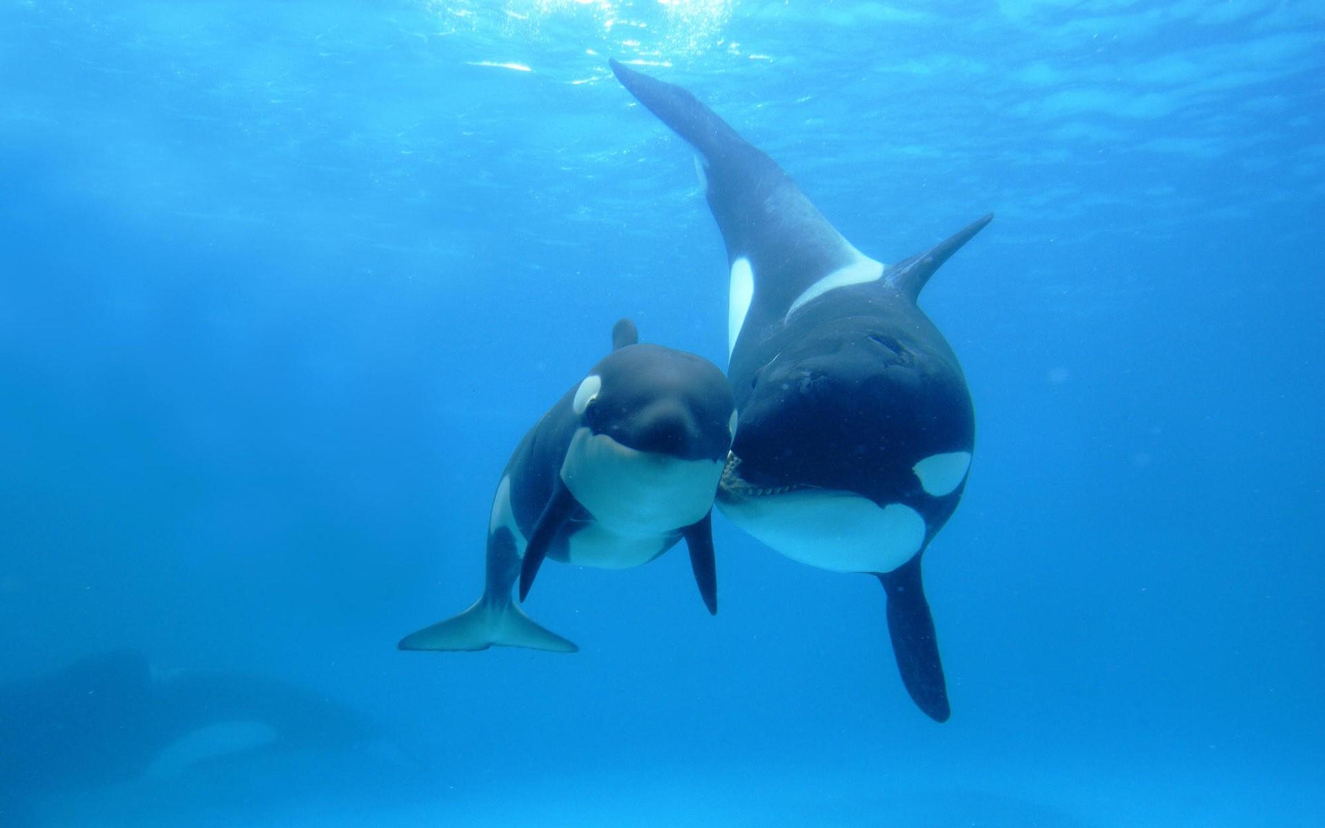 Dos ballenas orca - 1920x1200
