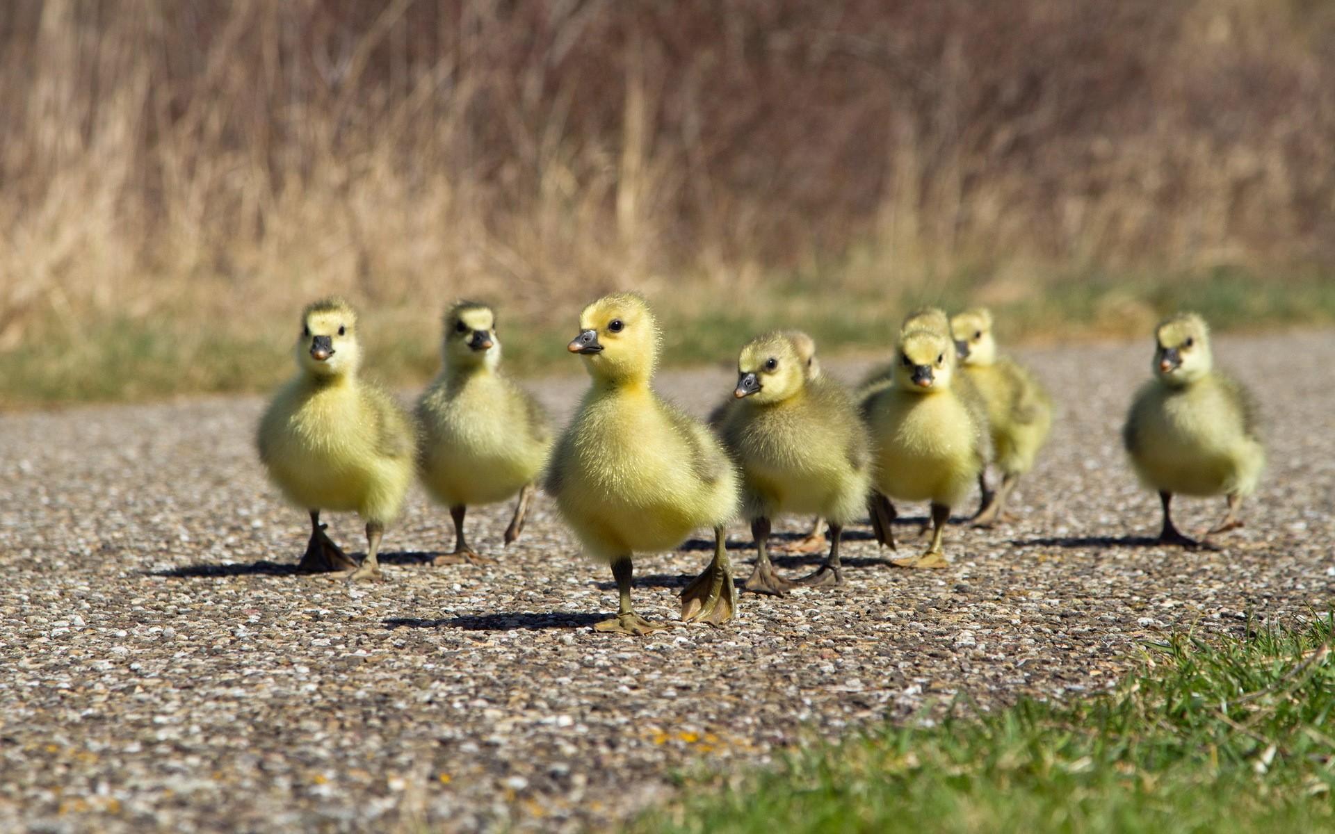 Familia de patos - 1920x1200