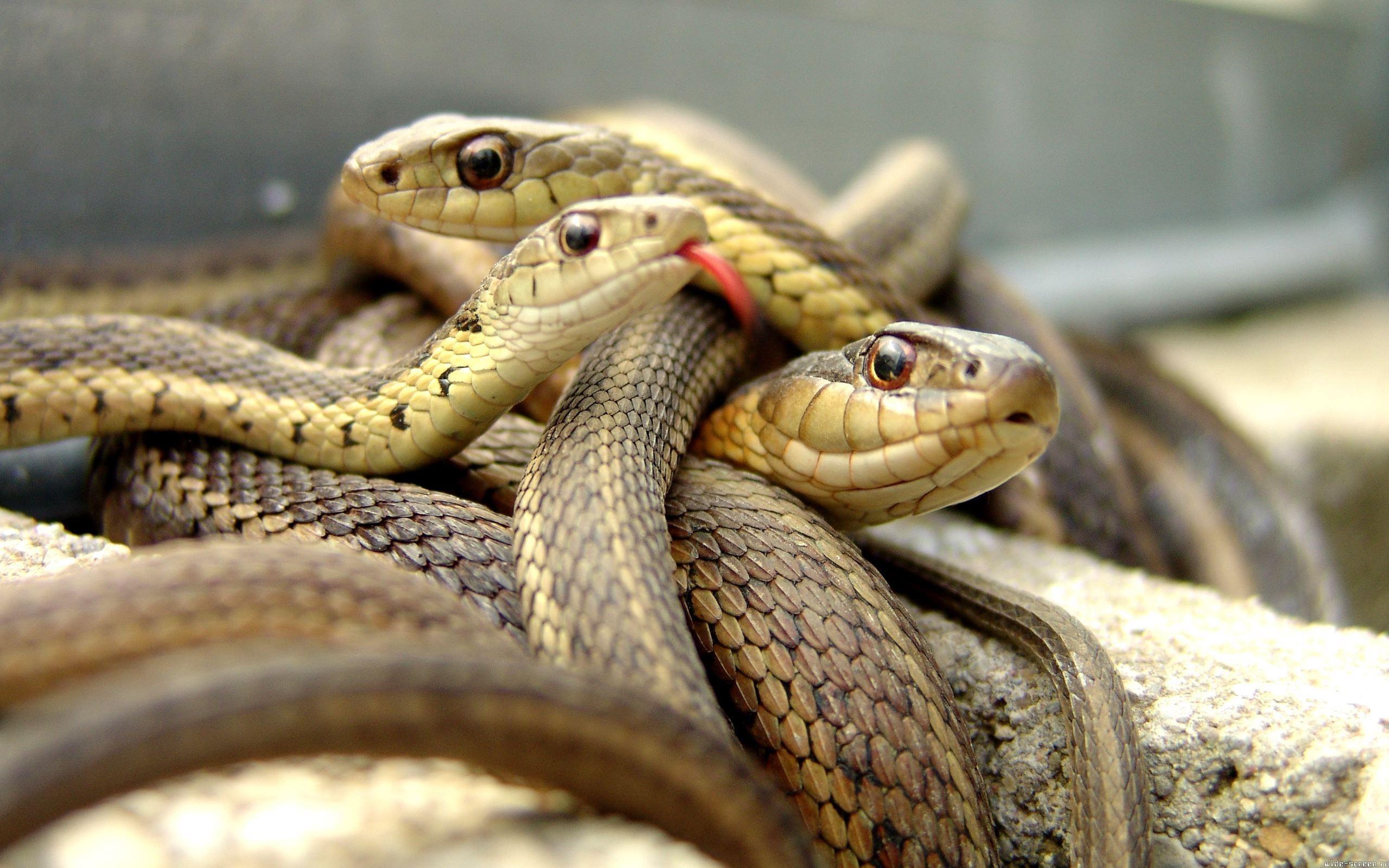 Familias de serpientes - 2560x1600