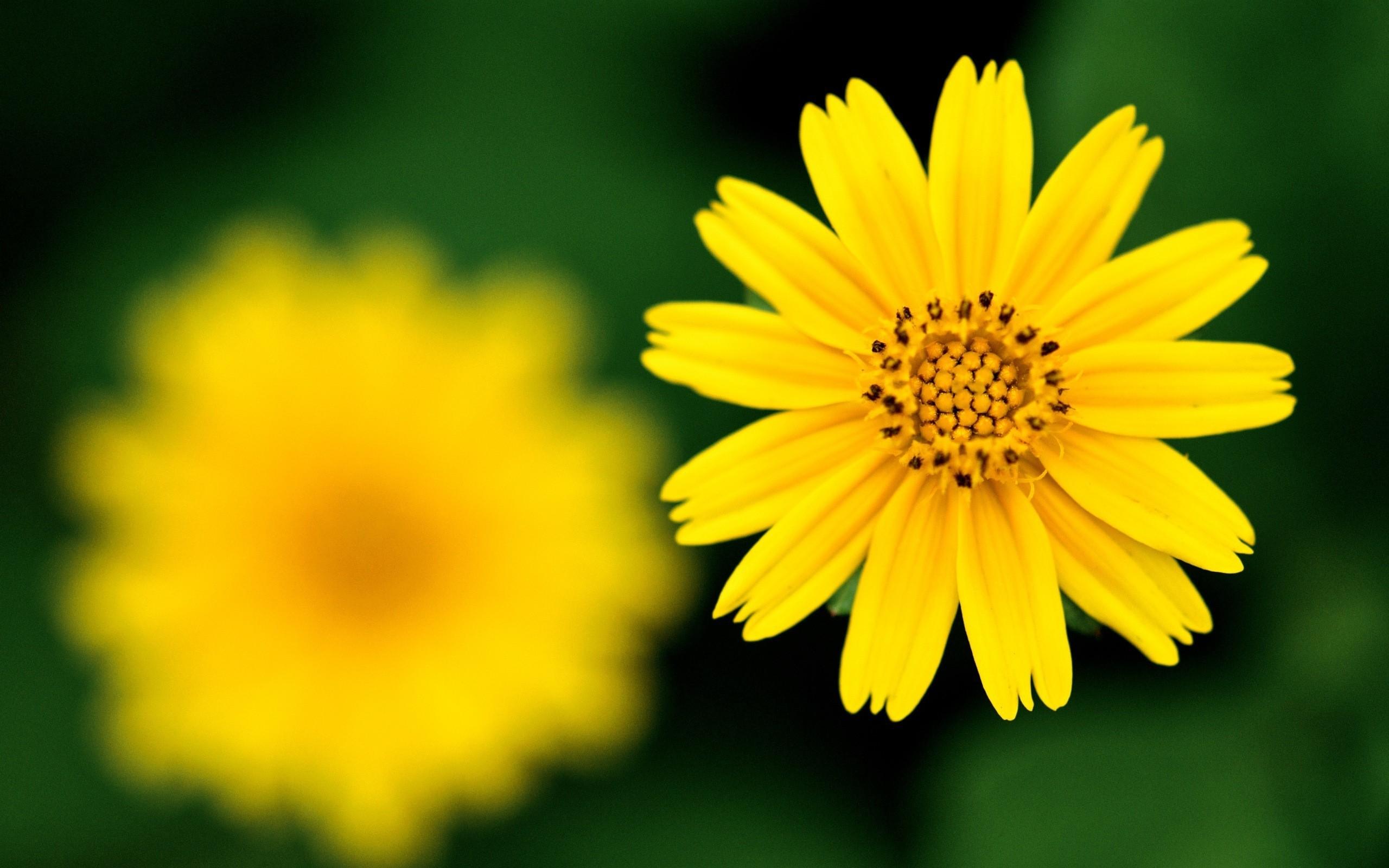 Flor amarilla - 2560x1600