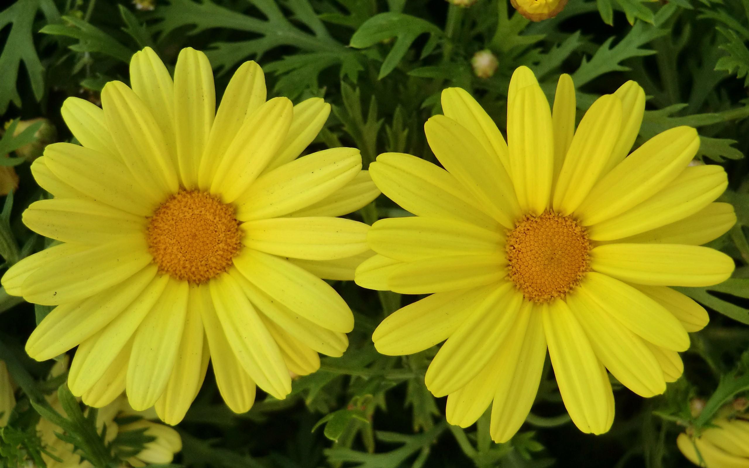 Flores amarillas - 2560x1600