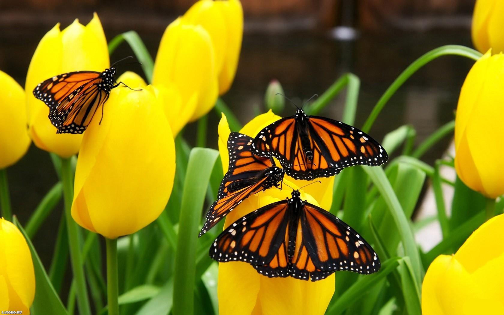 Flores amarillas y mariposas - 1680x1050