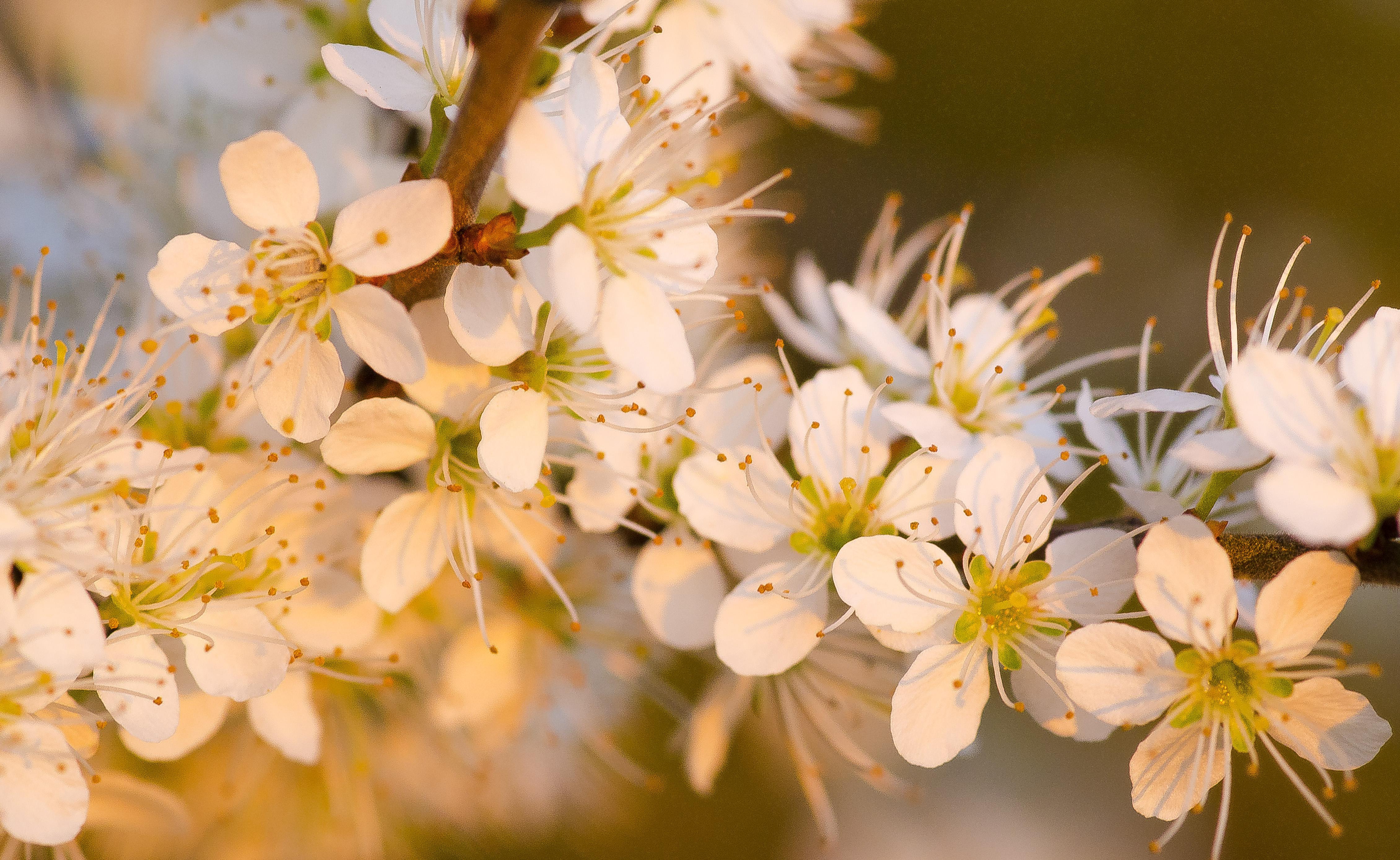 Flores blancas al atardecer - 4521x2778