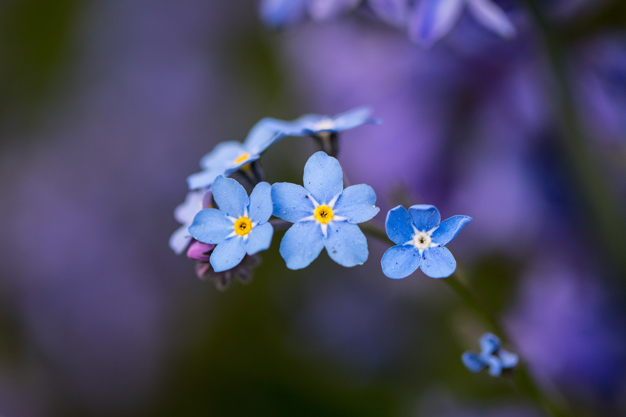 Flores celestes pequeñas - 2048x1365