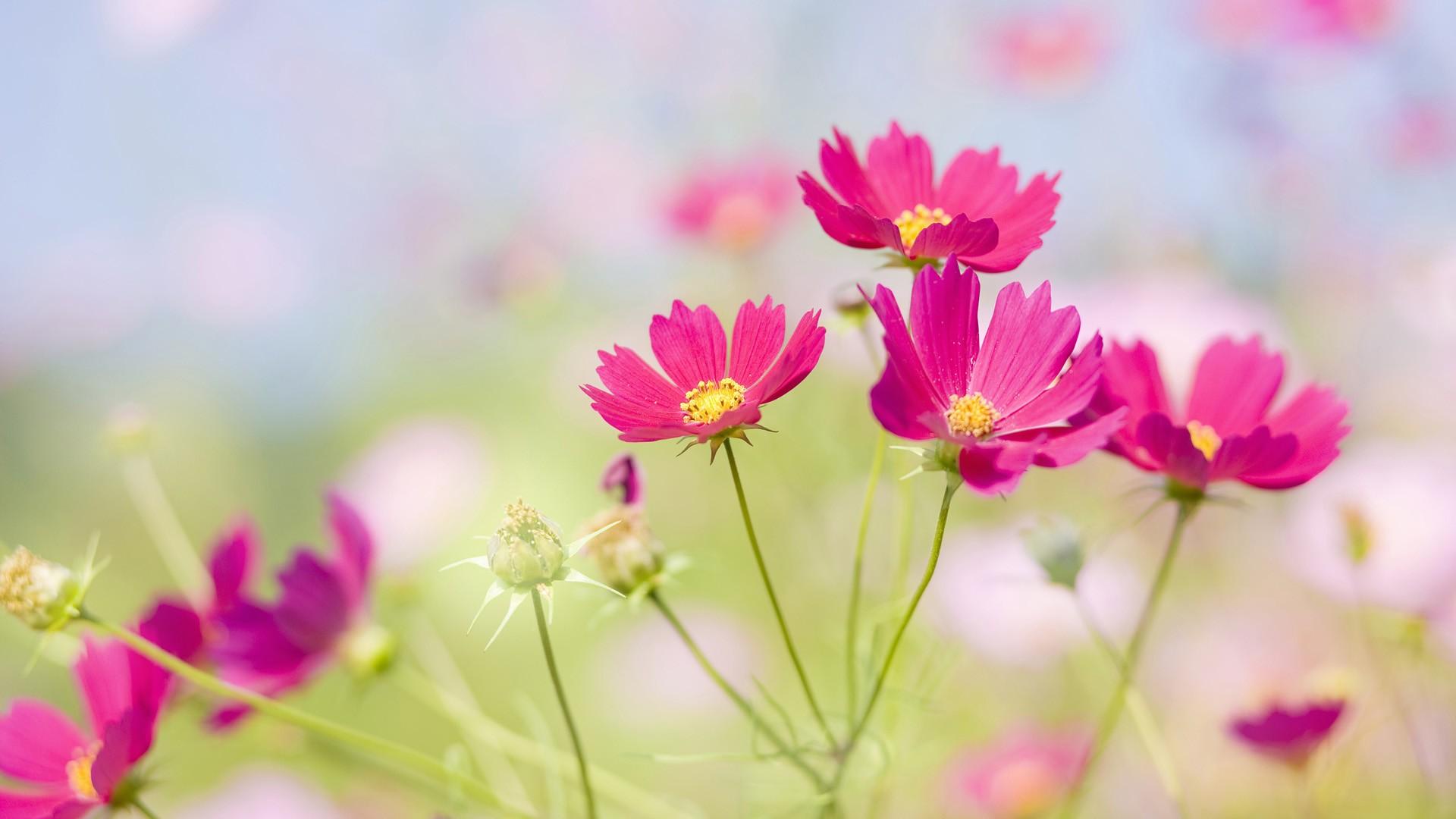 Flores color fucsia - 1920x1080