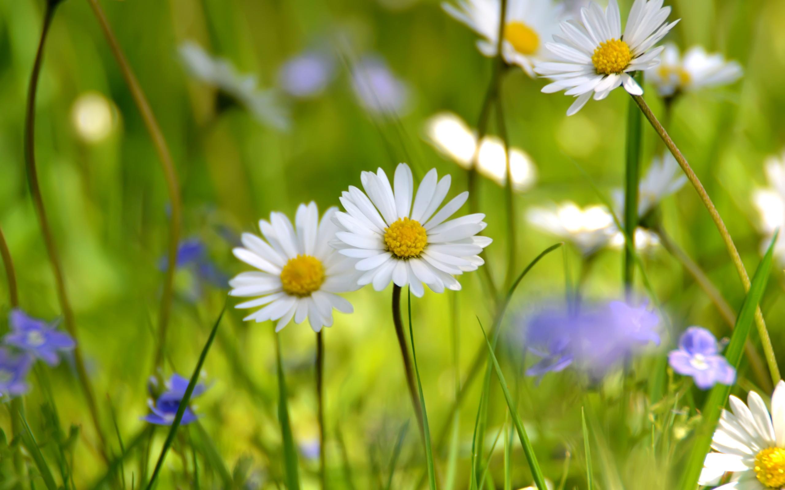 Flores margaritas - 2560x1600