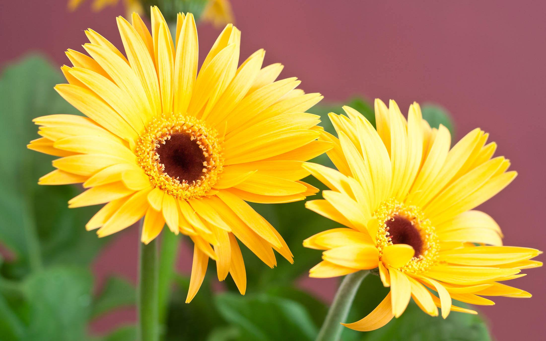 Flores margaritas amarillas - 2200x1375