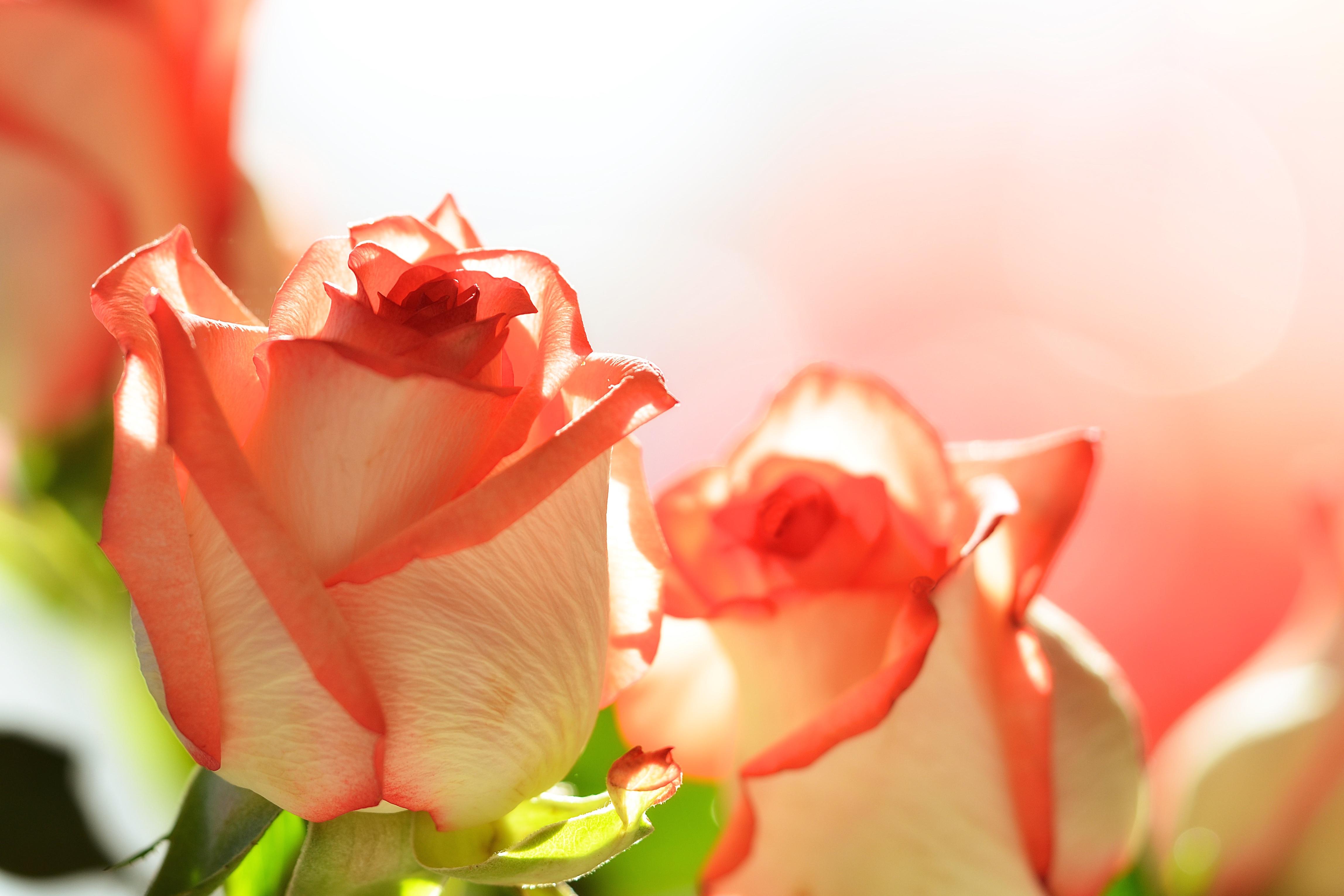 Flores para San Valentín - 4592x3061