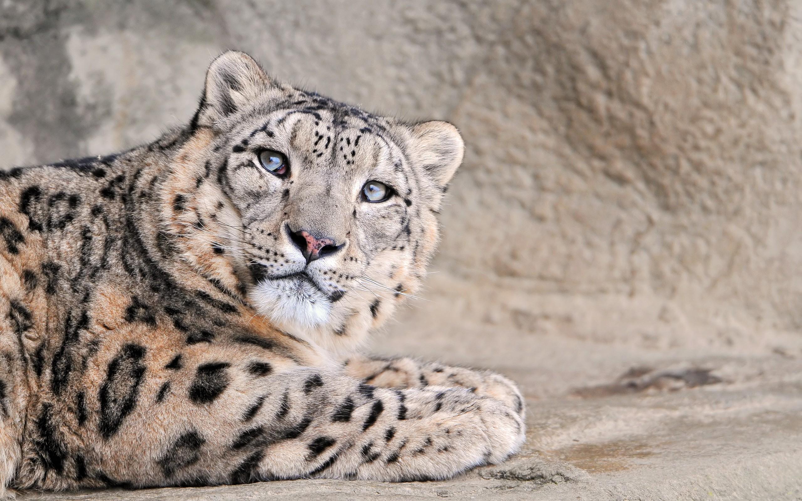 Fotos de leopardo - 2560x1600