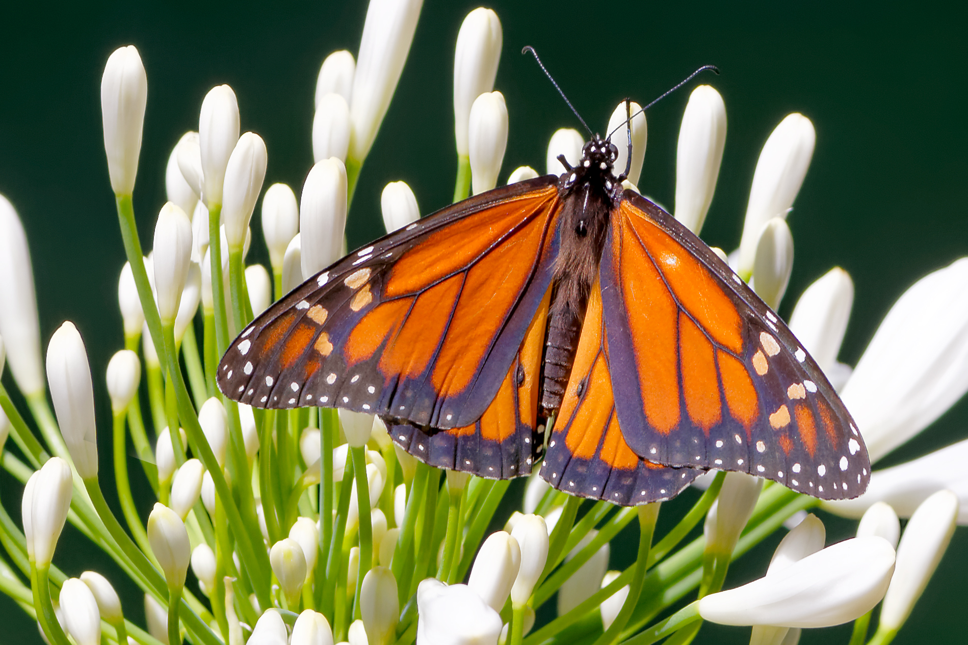 Fotos macro de mariposas - 1899x1266