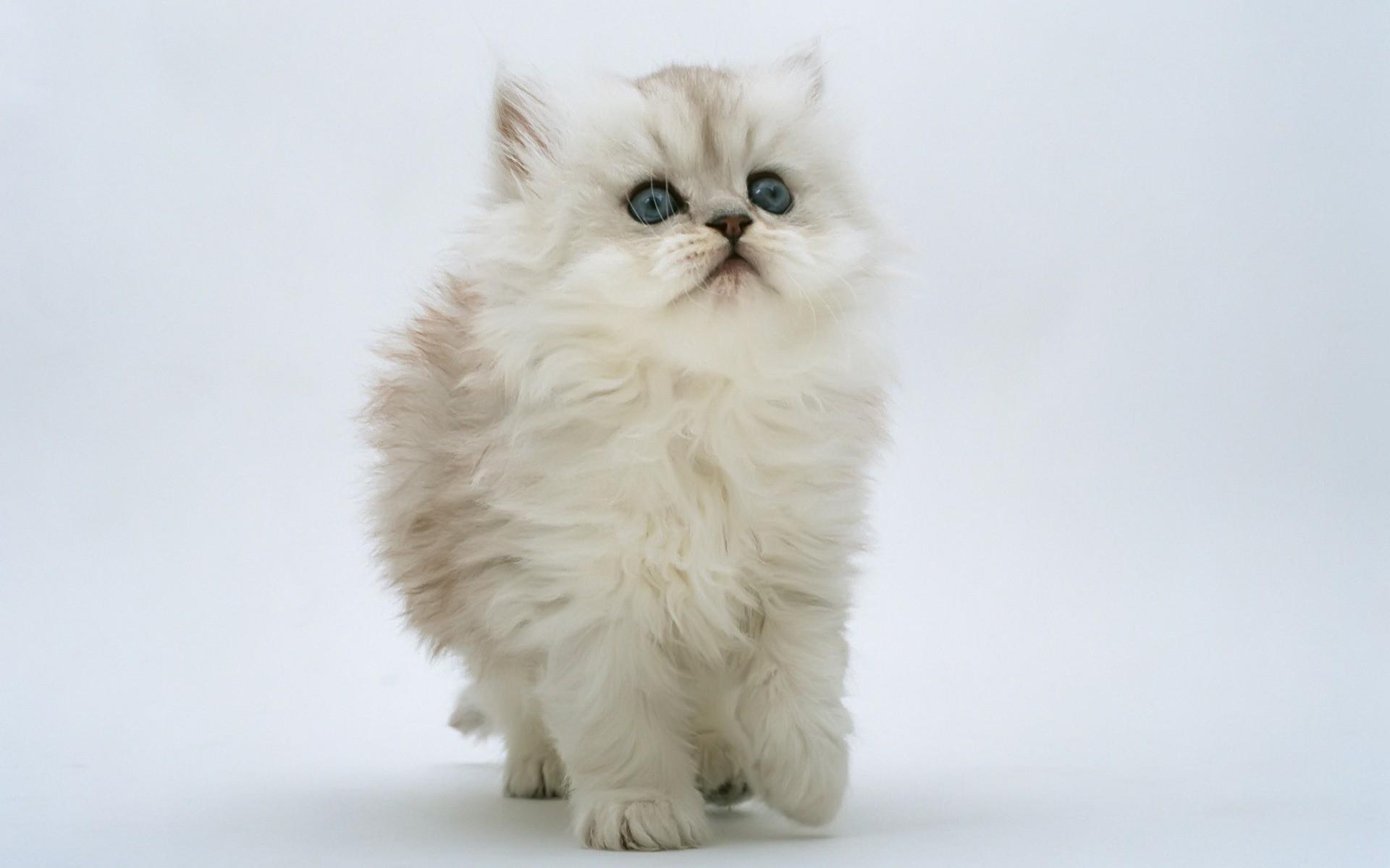 Gato blanco hermoso - 1920x1200