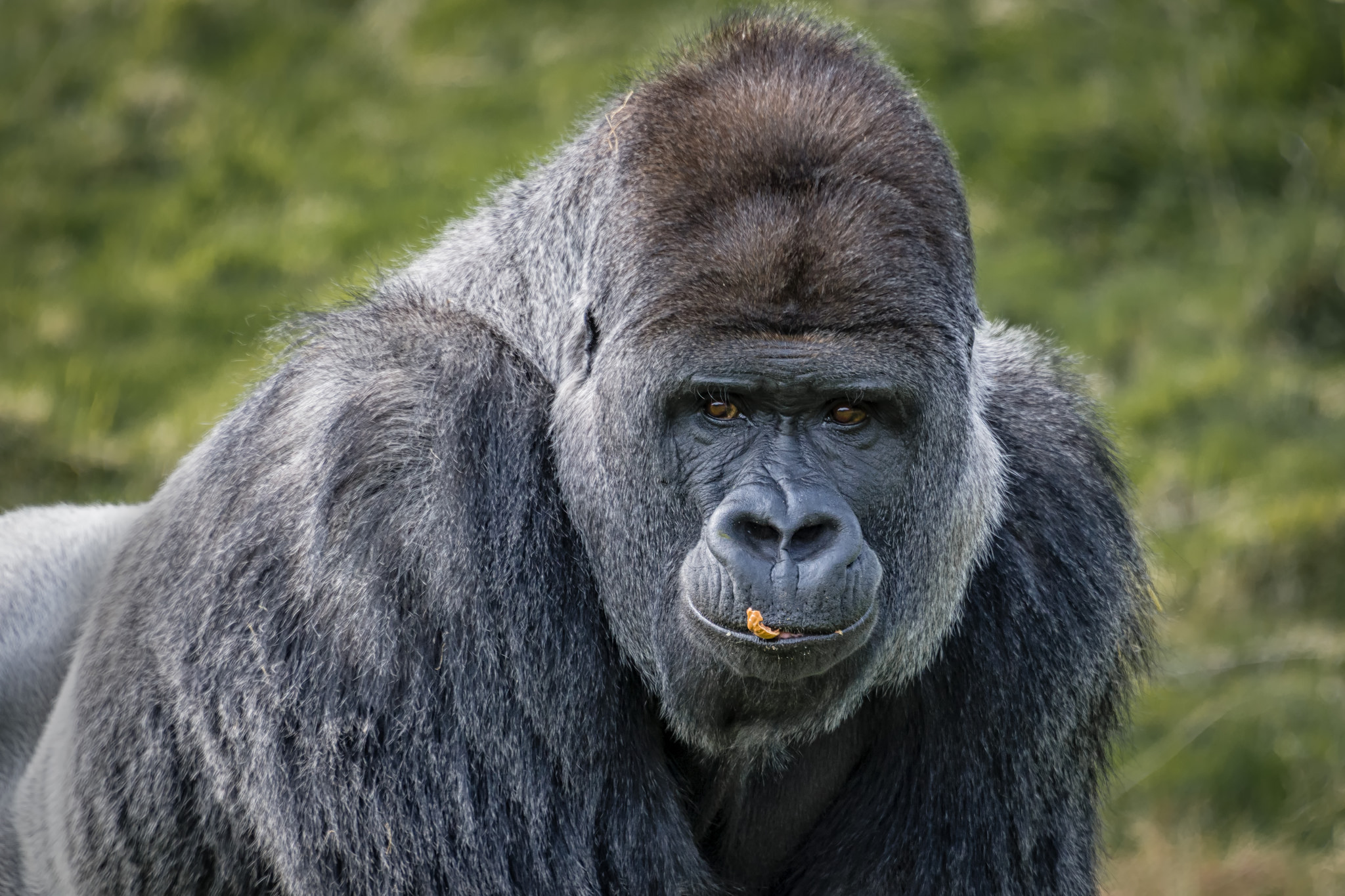 Gorilas negros - 2048x1365