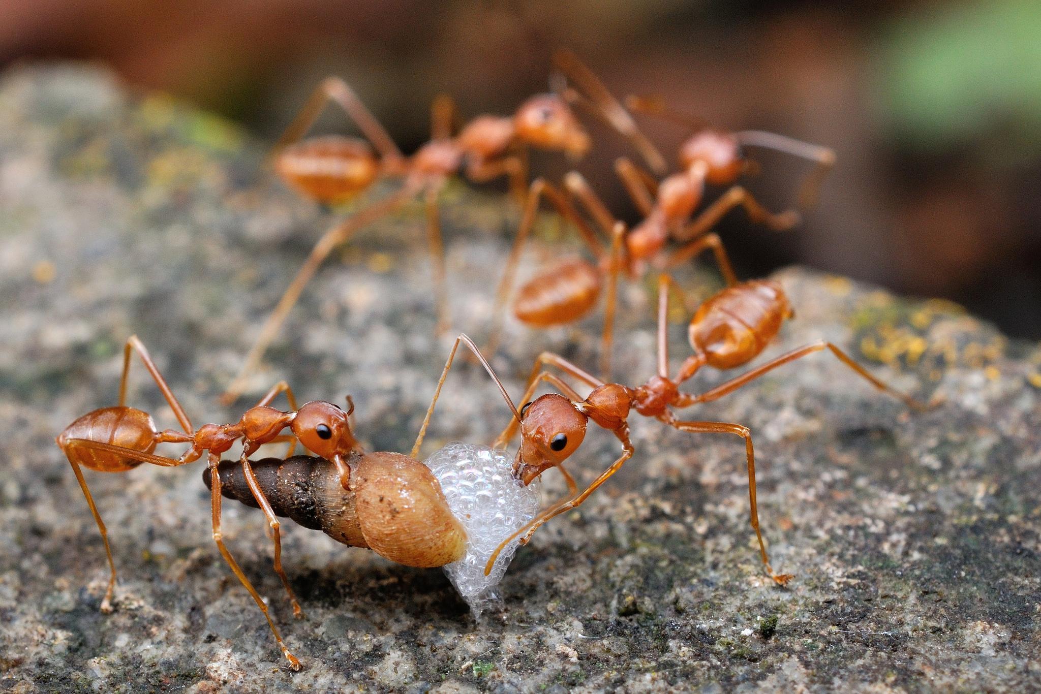Hormigas cazando - 2048x1366