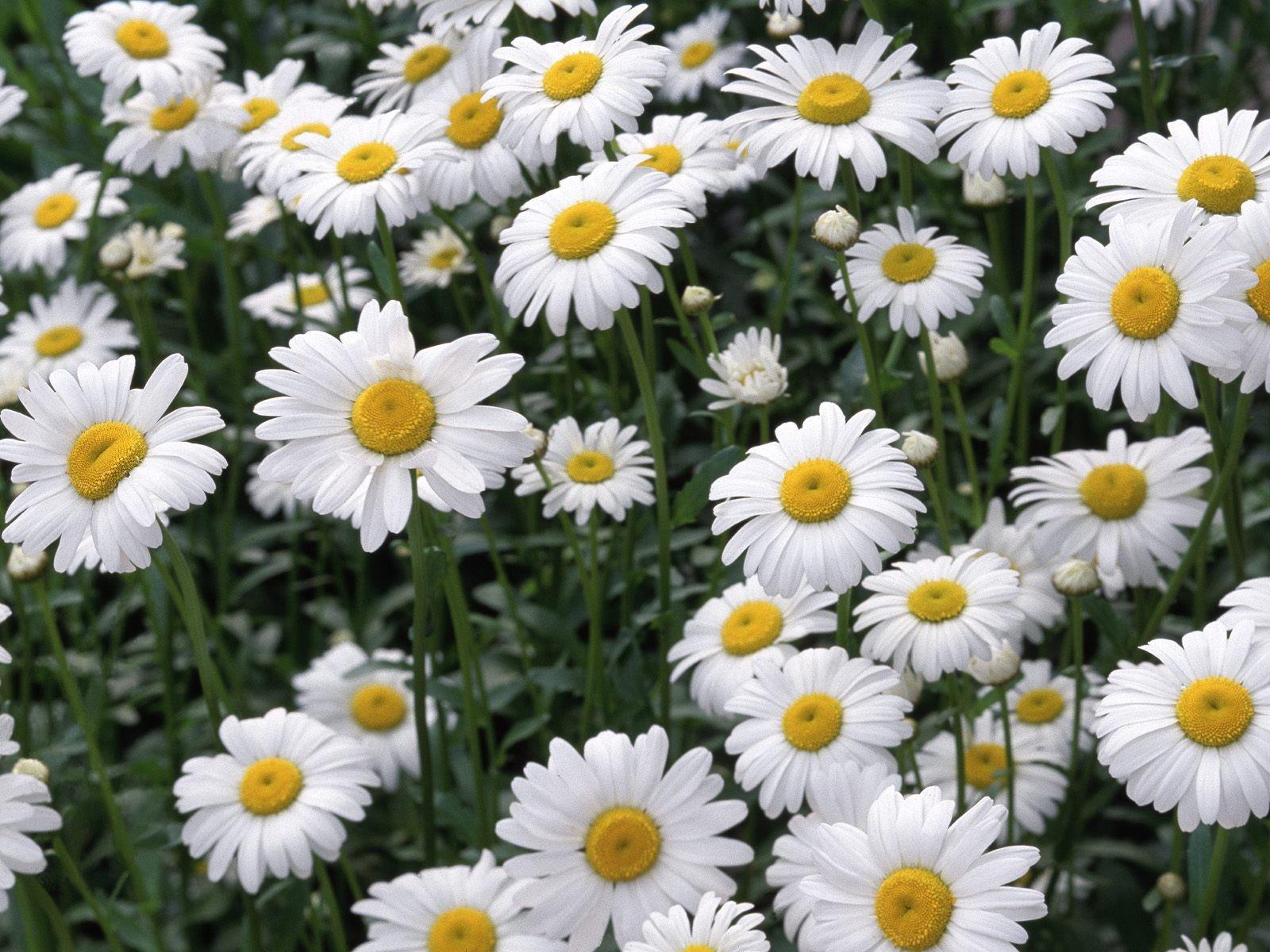 Jardin con flores margaritas - 1600x1200