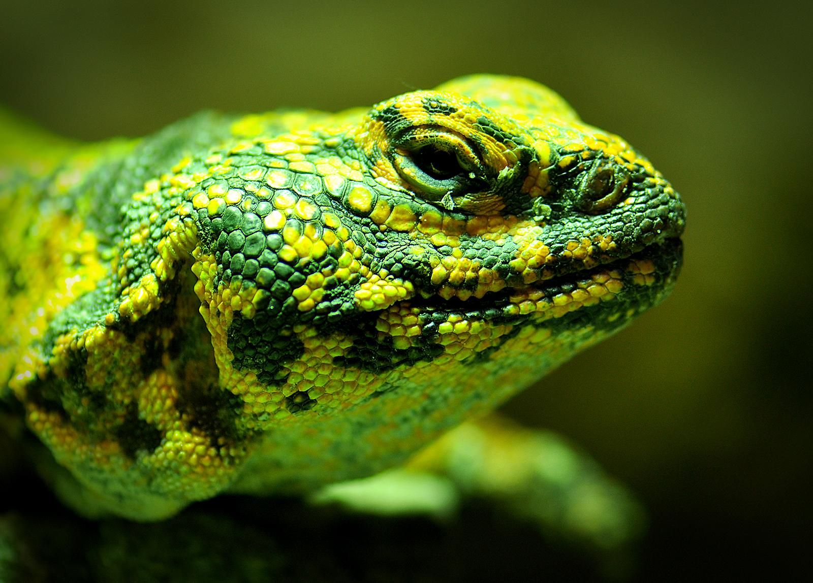 La cabeza de un lagarto - 1600x1148