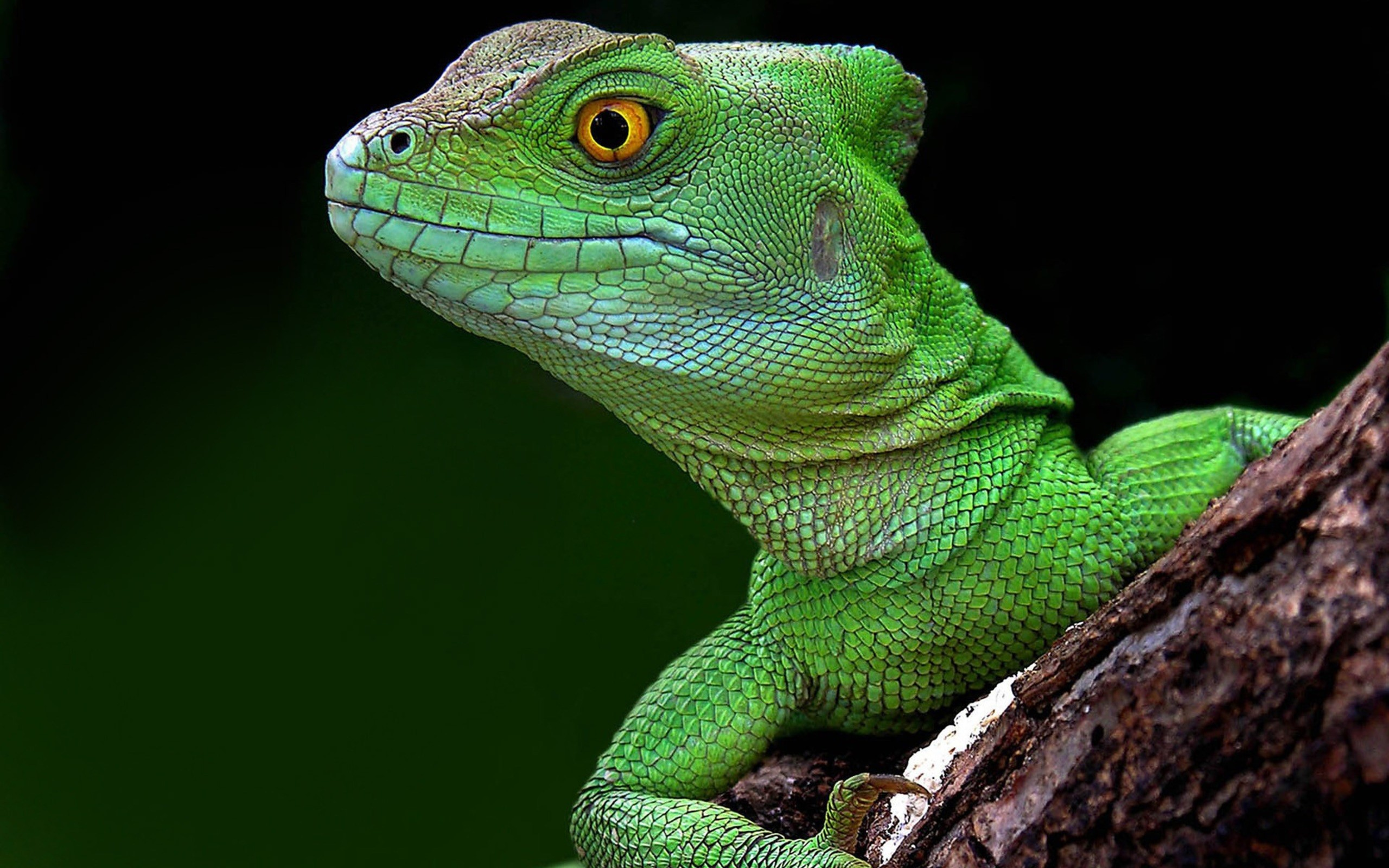 Lagarto verde - 2560x1600