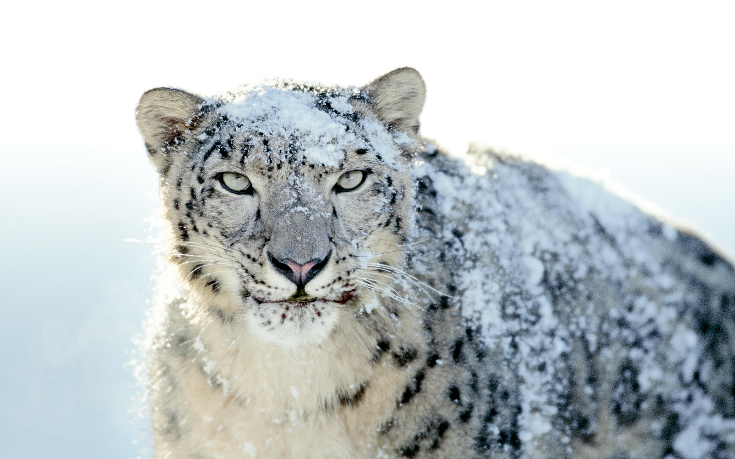 Leopardo Blanco - 2560x1600