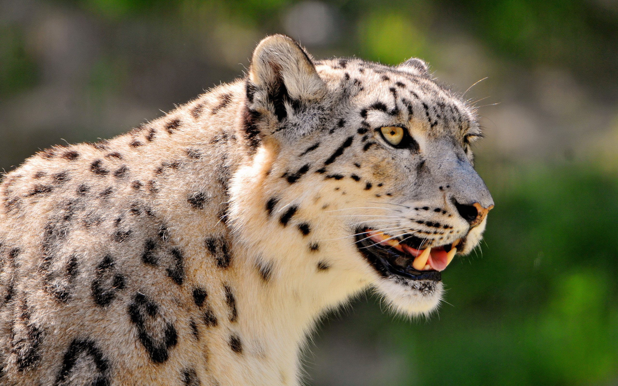 Leopardo de las nieves - 2560x1600