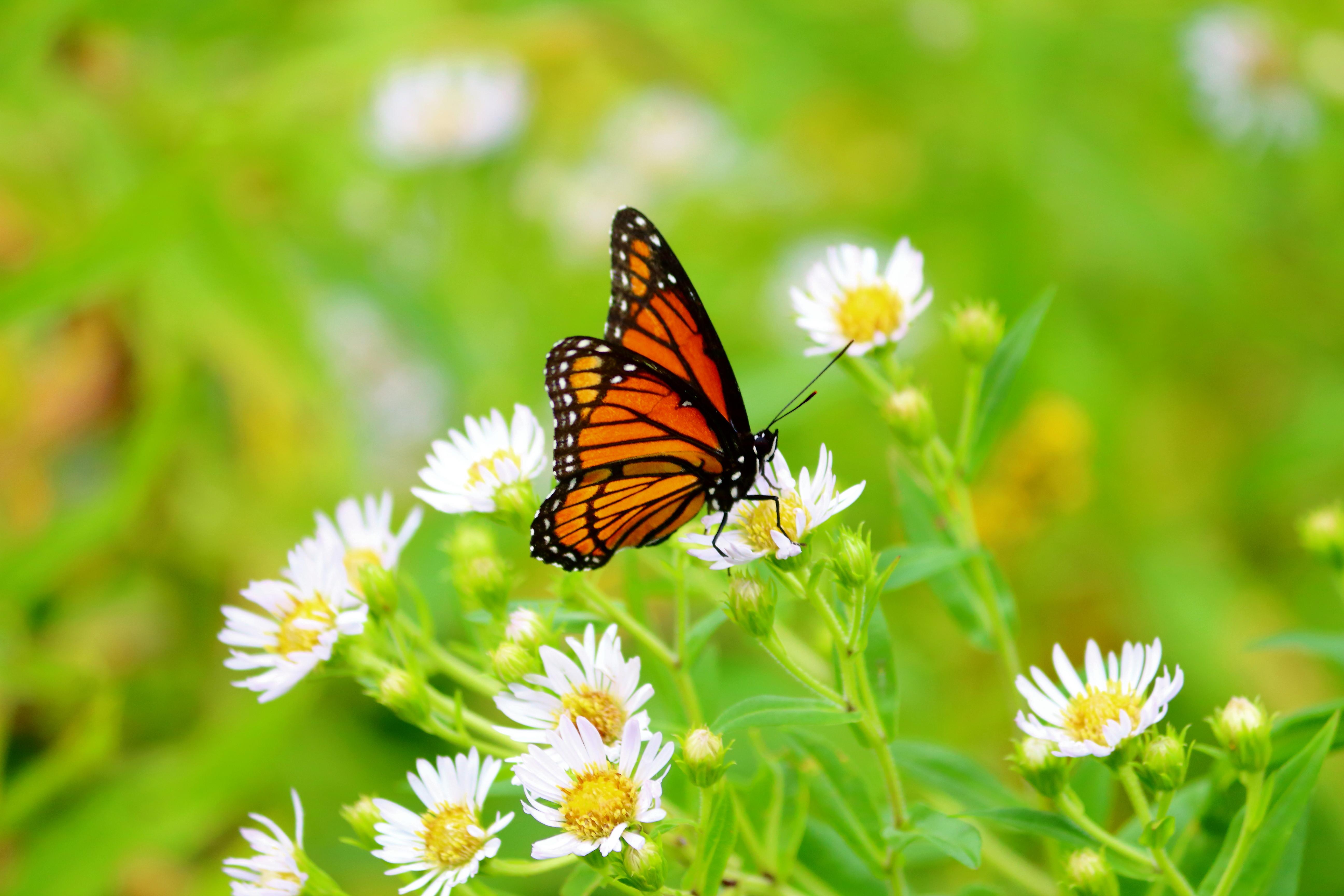 Mariposa en un flores blancas - 5184x3456
