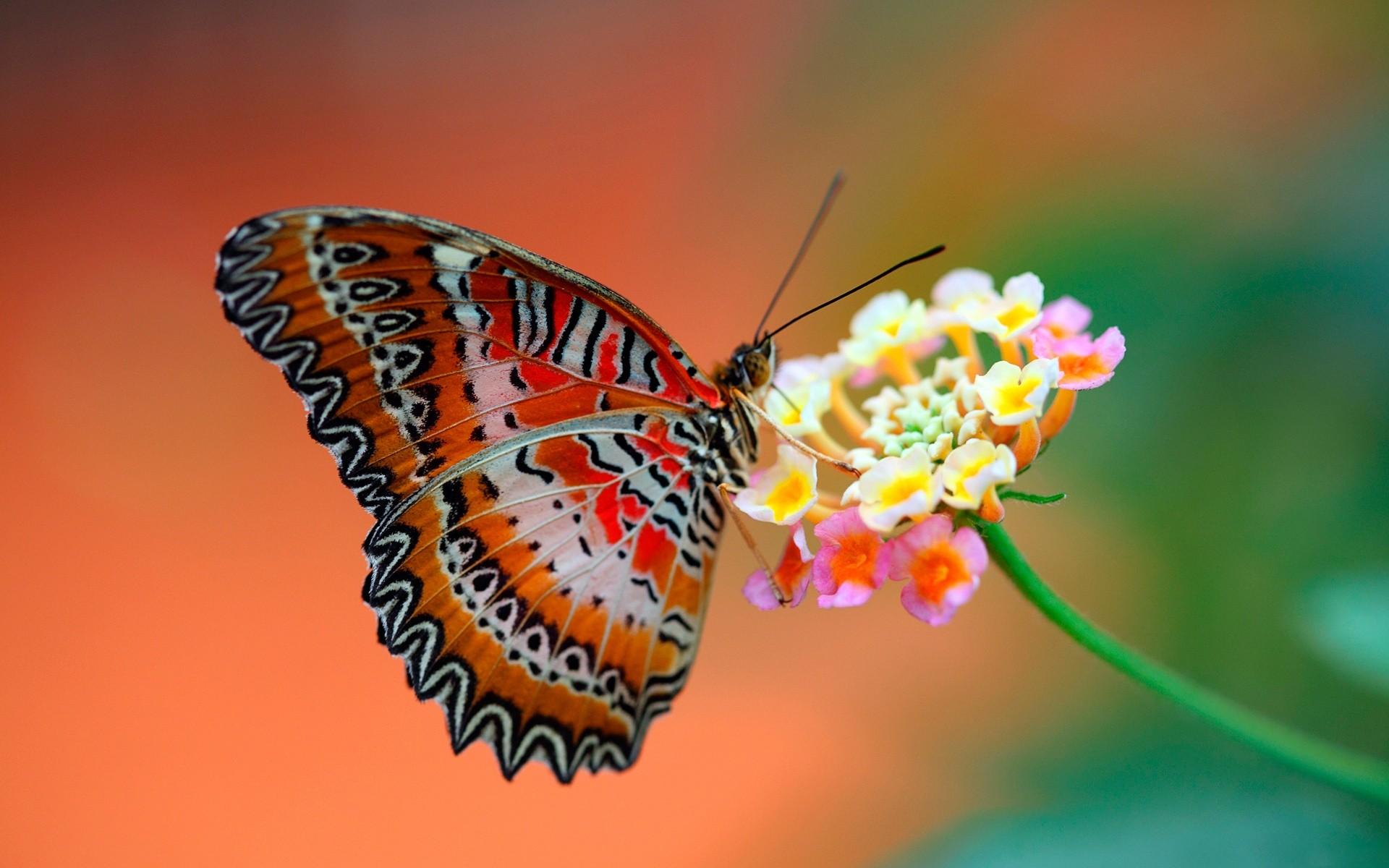 Mariposa en una flor - 1920x1200