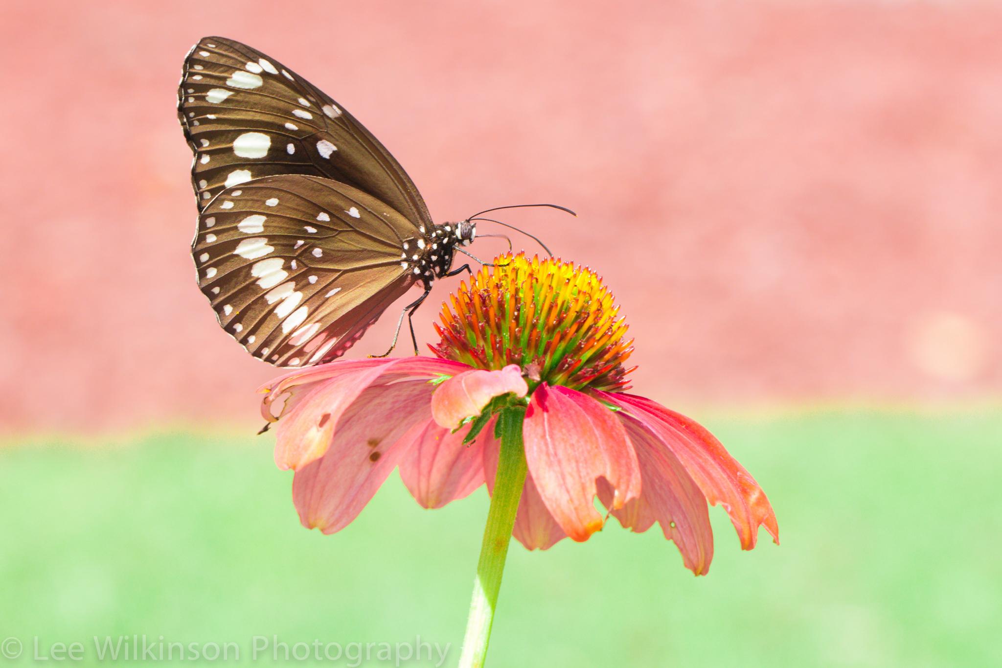 Mariposa en una flor rosada - 2048x1365