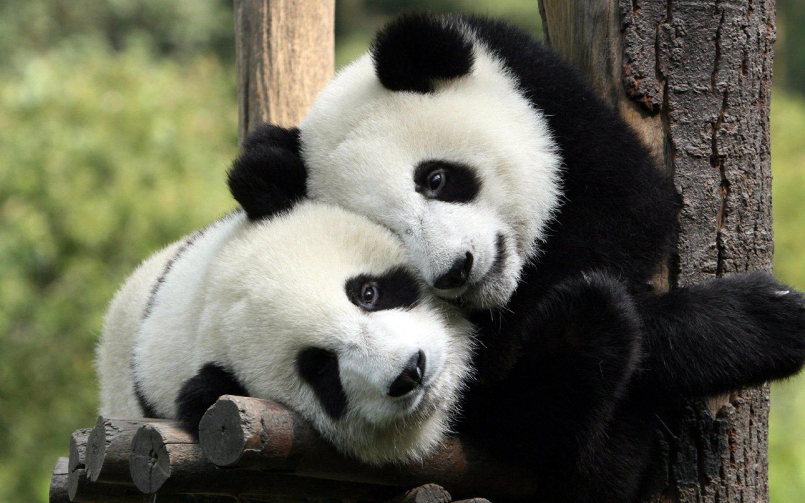 Ojos pandas hermosos - 2560x1600