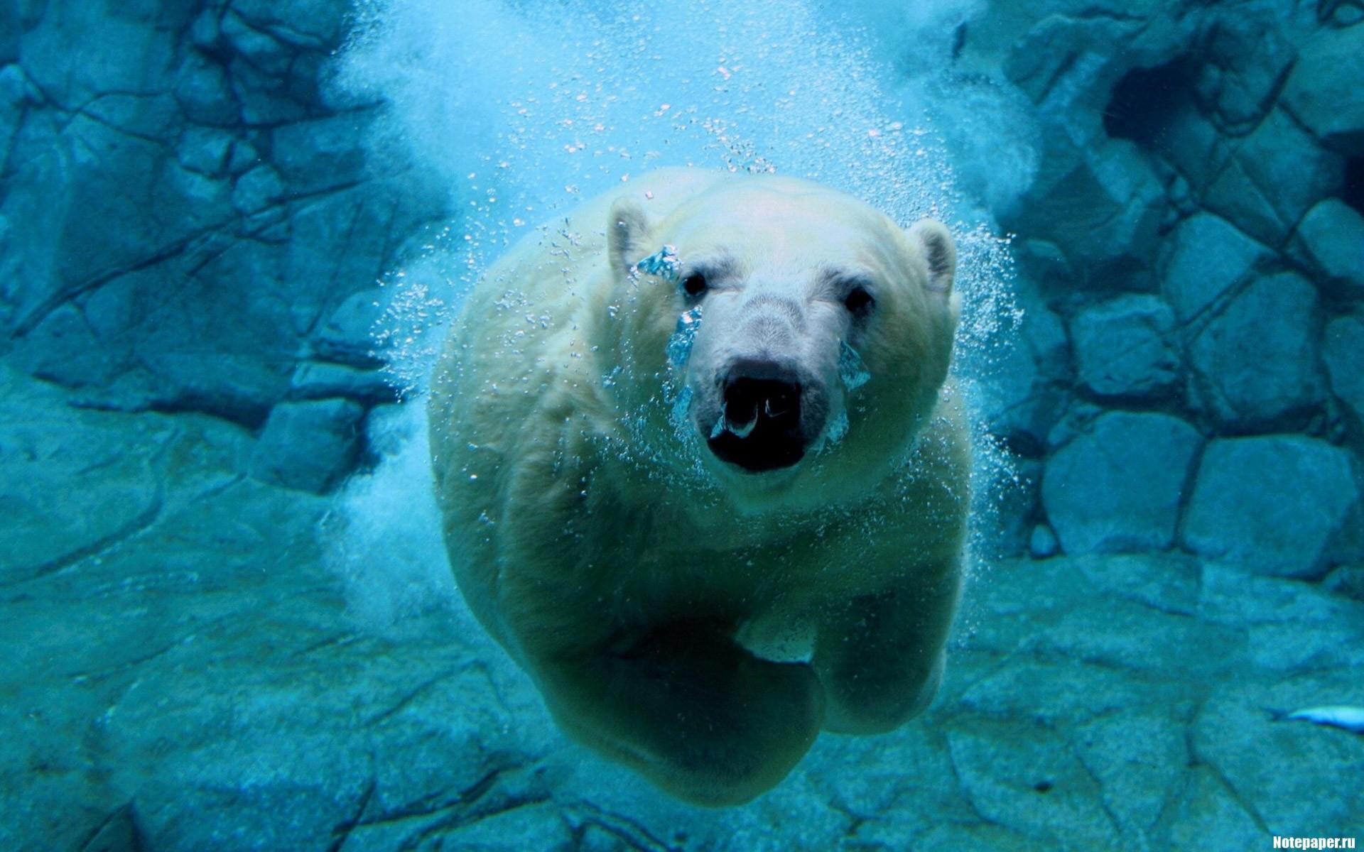 Oso polar buceando - 1920x1200