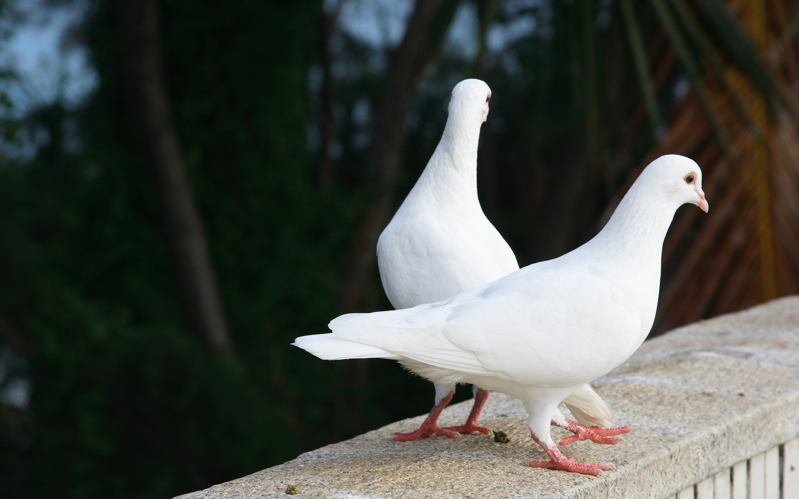 Palomas blancas - 2560x1600
