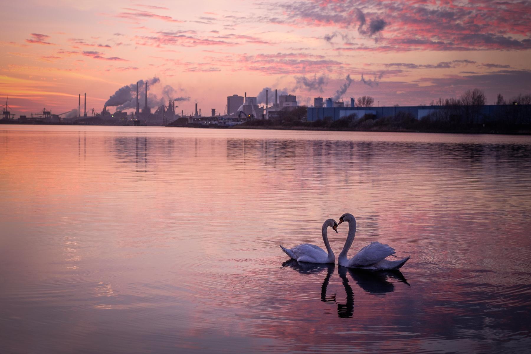 Pareja de Cisnes en forma de corazón - 1800x1200