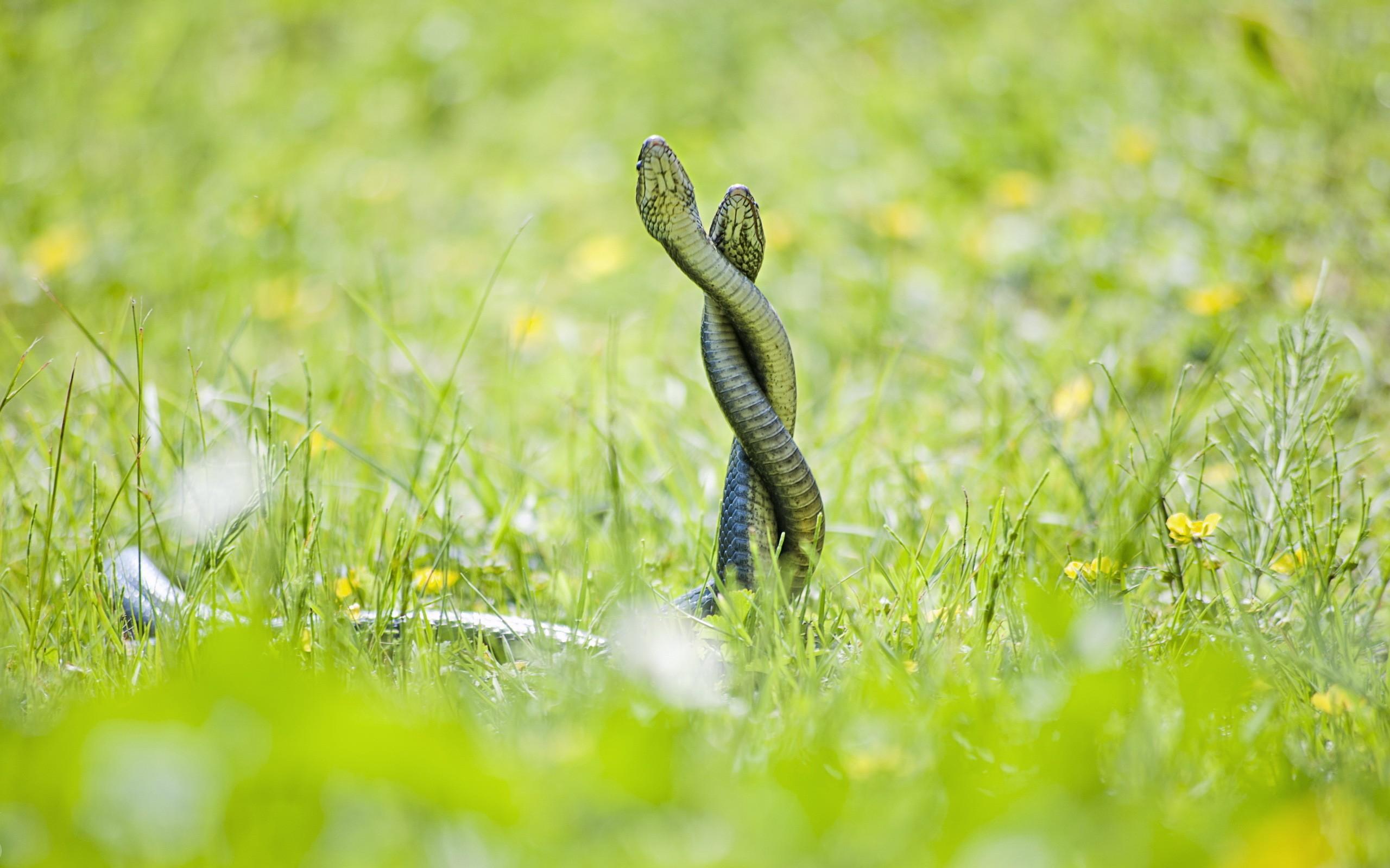 Pelea de serpientes - 2560x1600