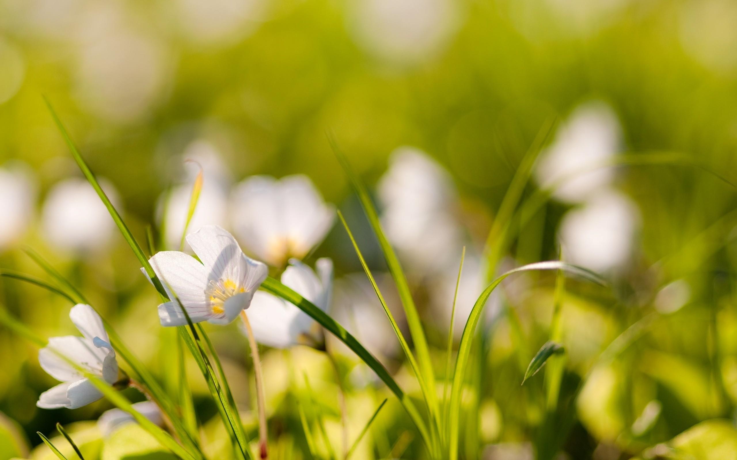Pequenas flores blancas - 2560x1600