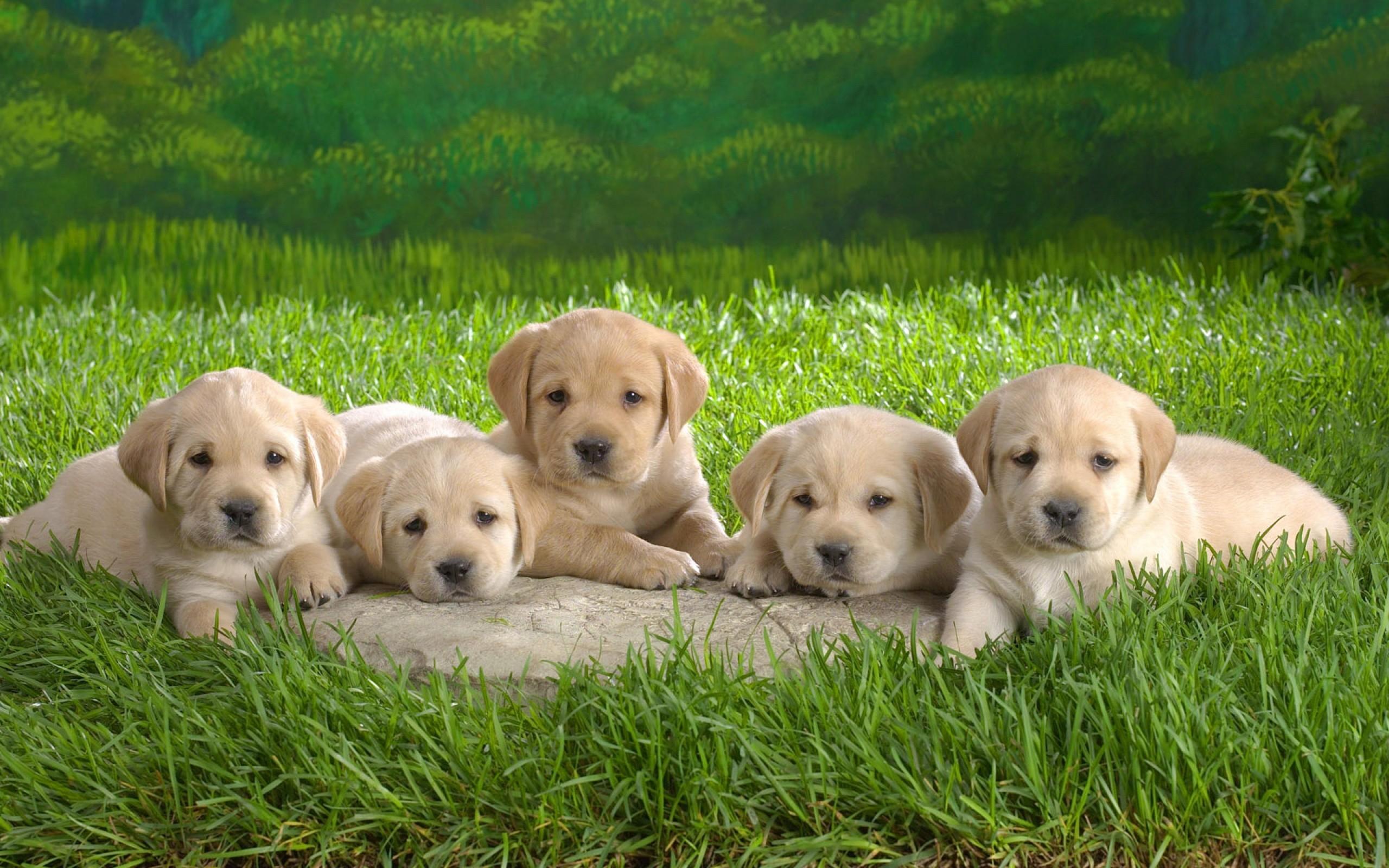 Pequeños perros - 2560x1600