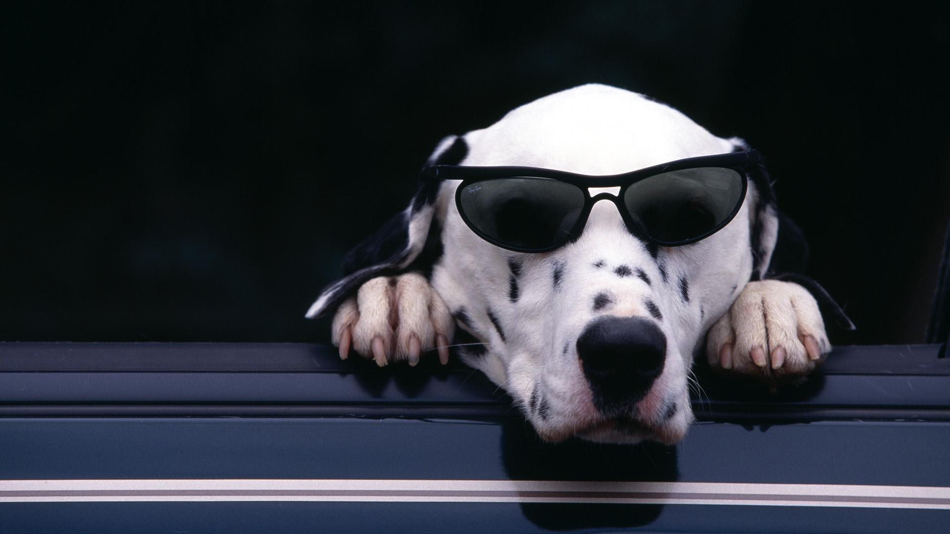 Perro con lentes - 1920x1080