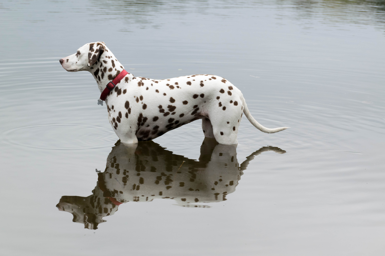 Perro dálmata en el agua - 6000x4000