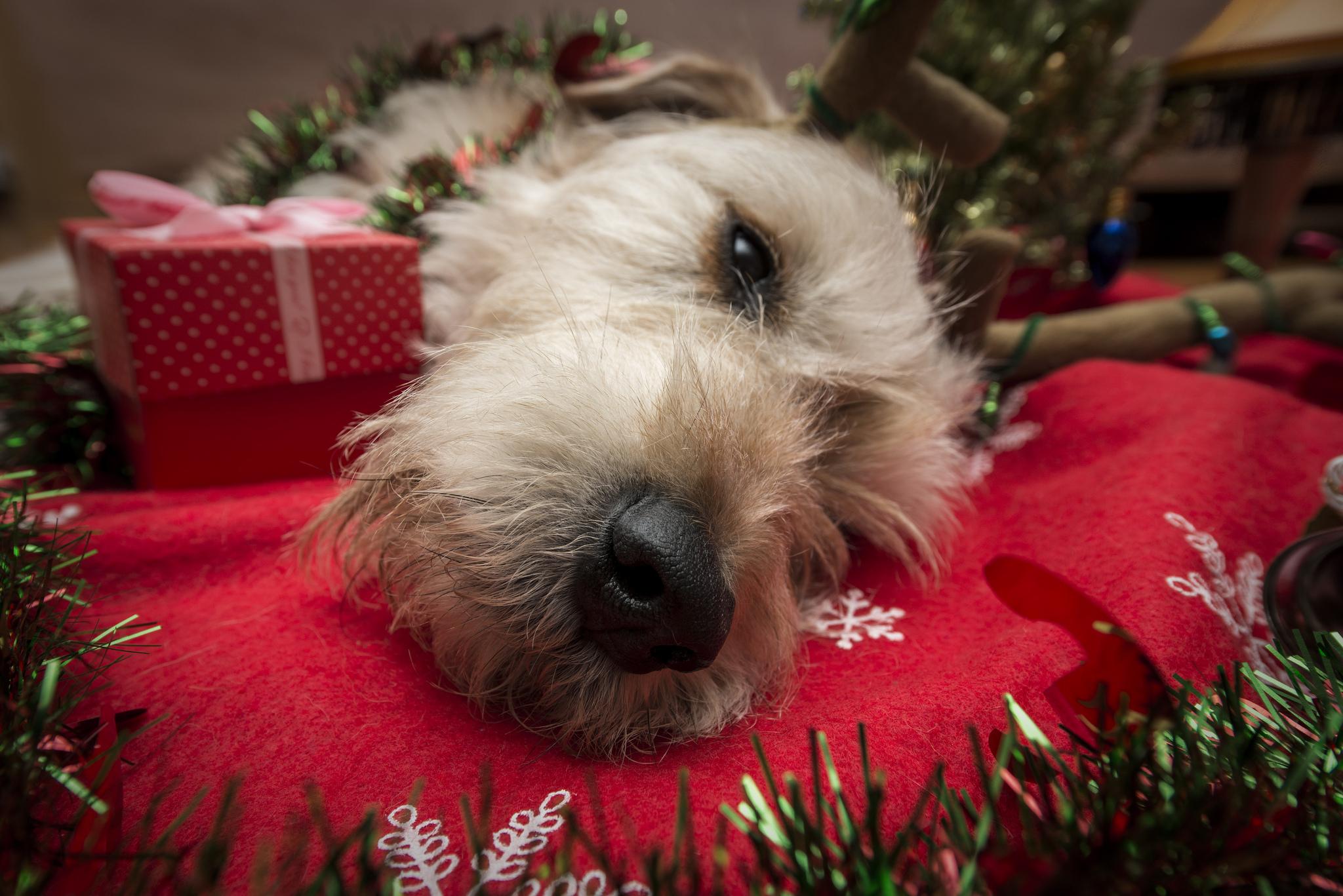 Perro navideño - 2048x1367
