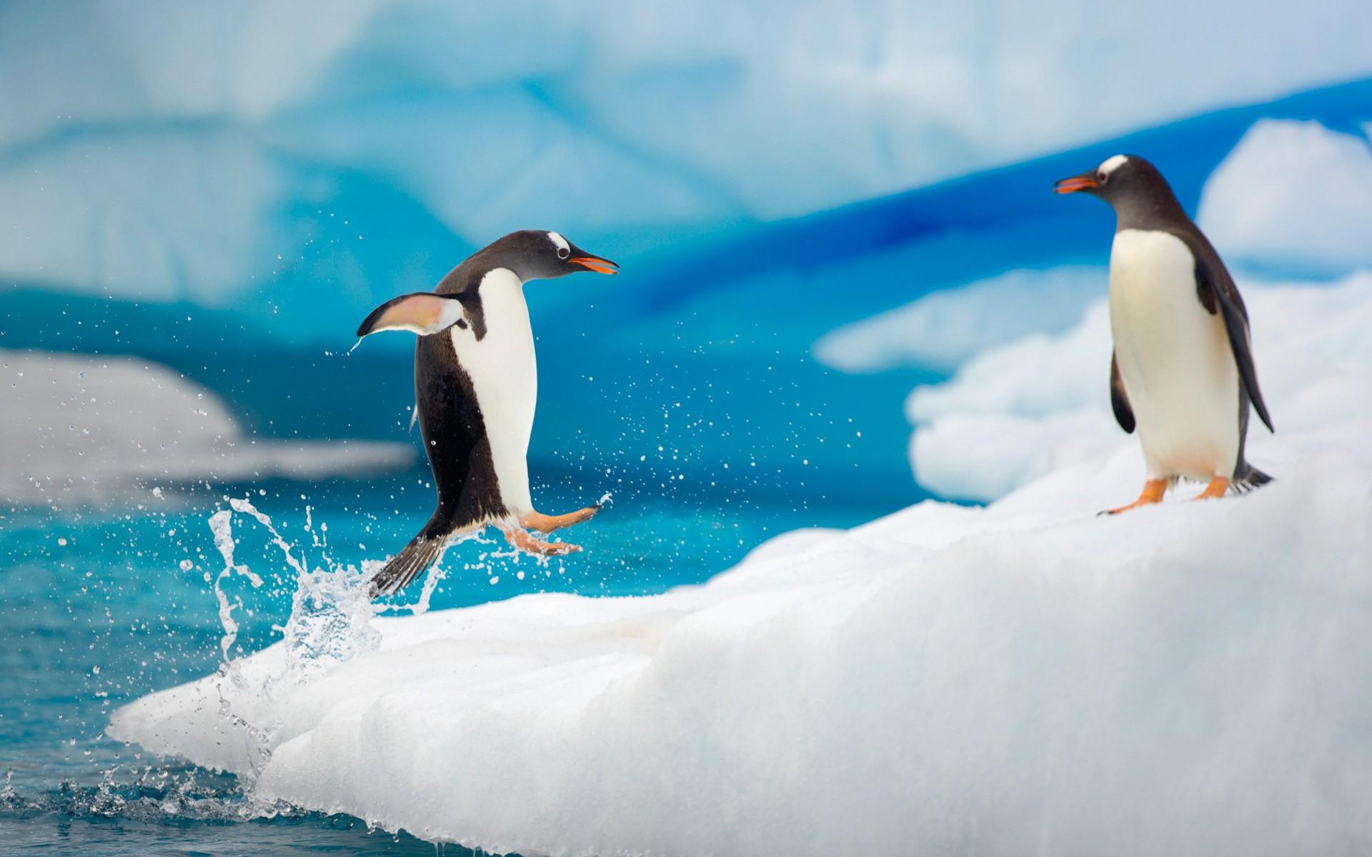 Pingüinos saltando - 1920x1200
