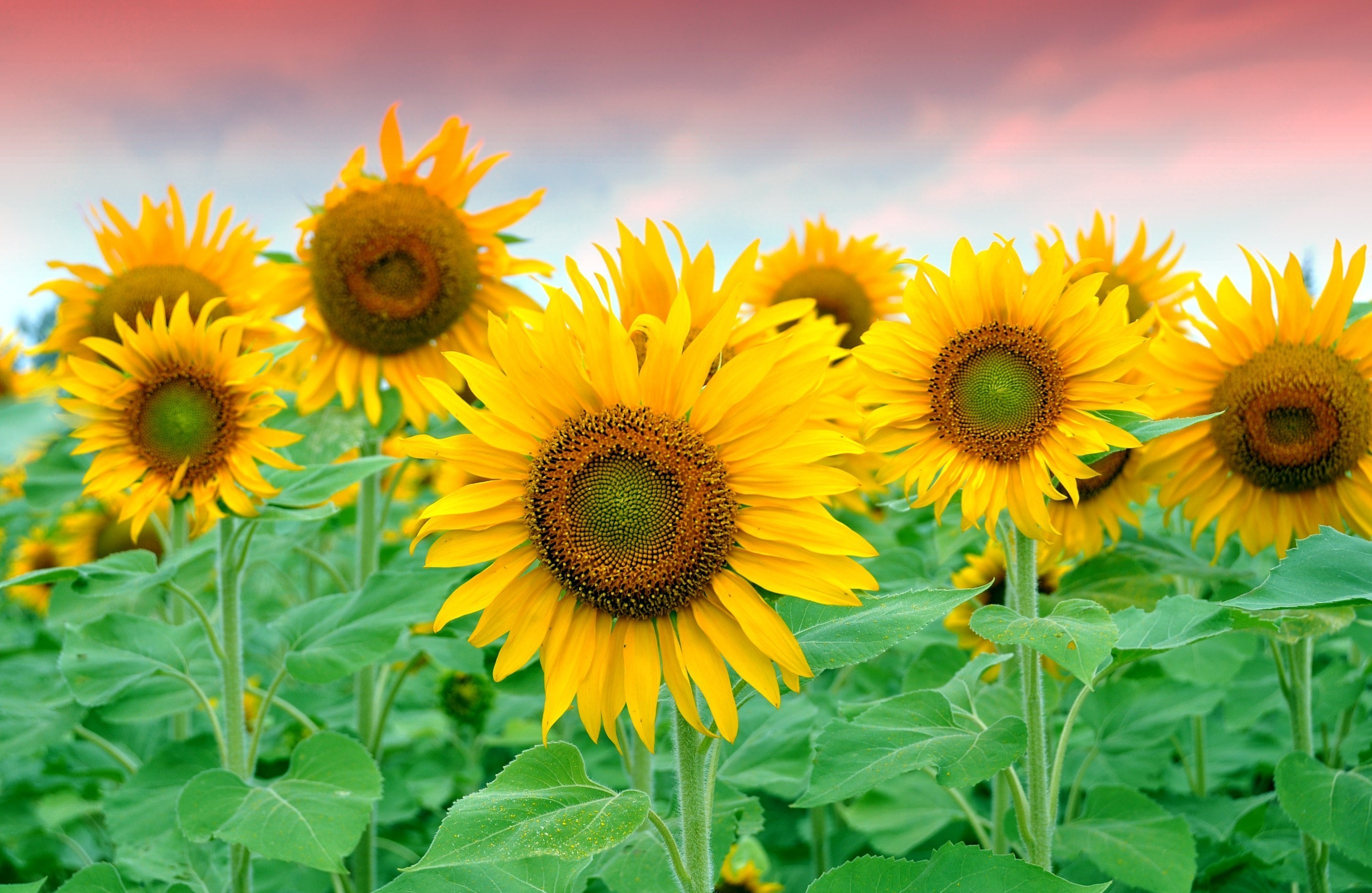 Plantas de Girasoles hd 2900x1887  imagenes  wallpapers gratis