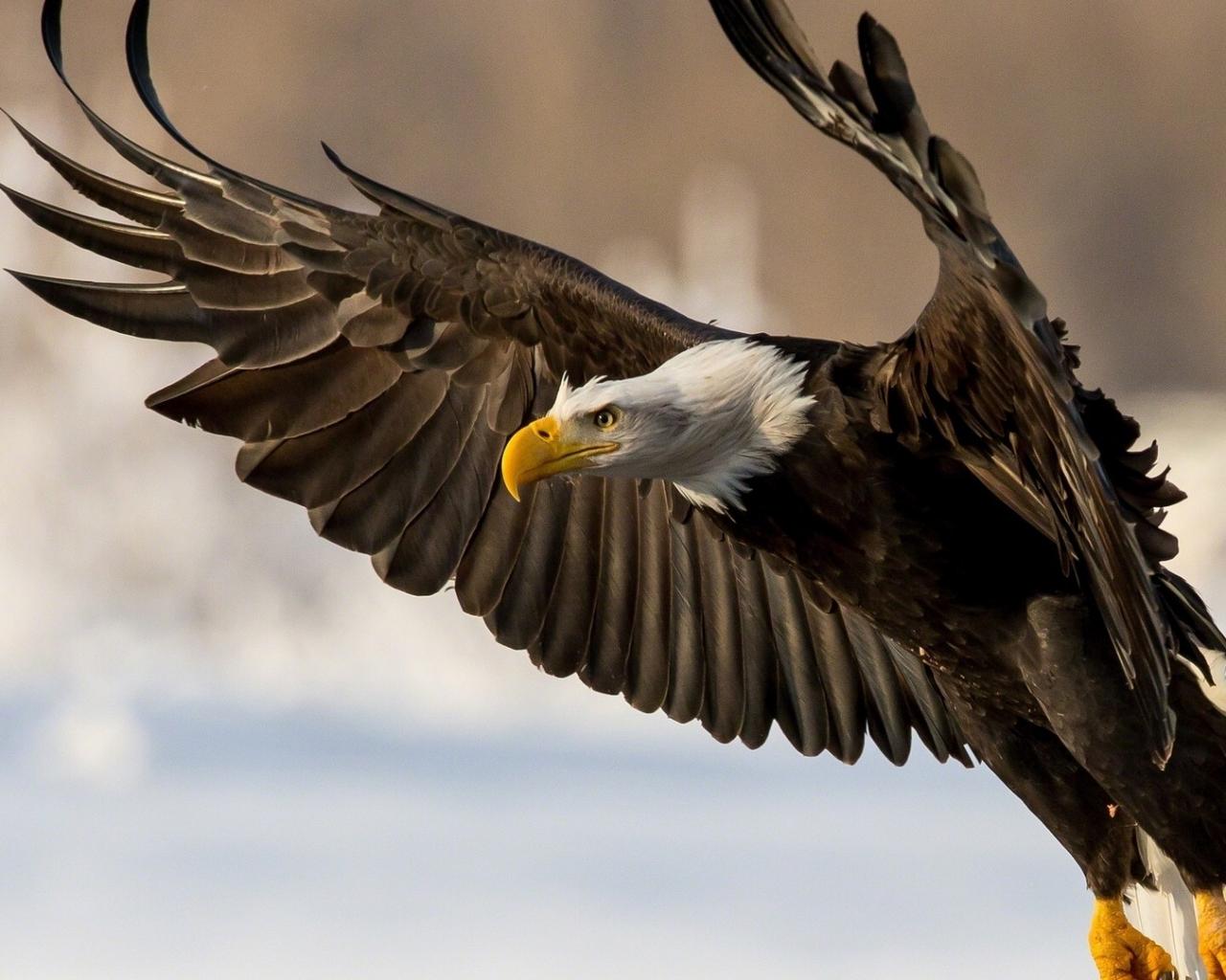 Aguila cabeza blanca - 1280x1024