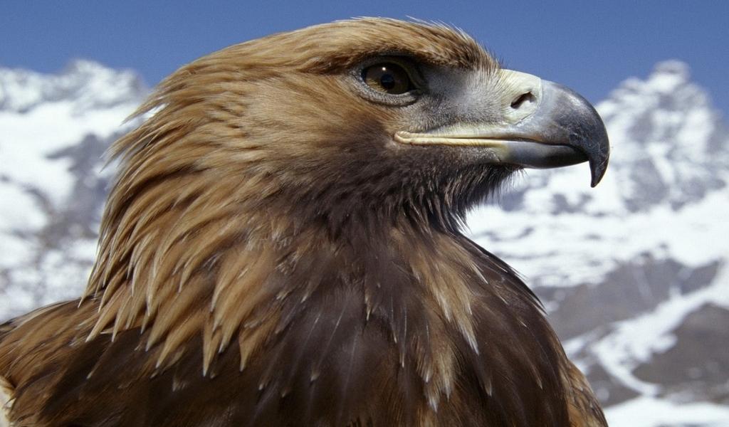 Aguila marron - 1024x600