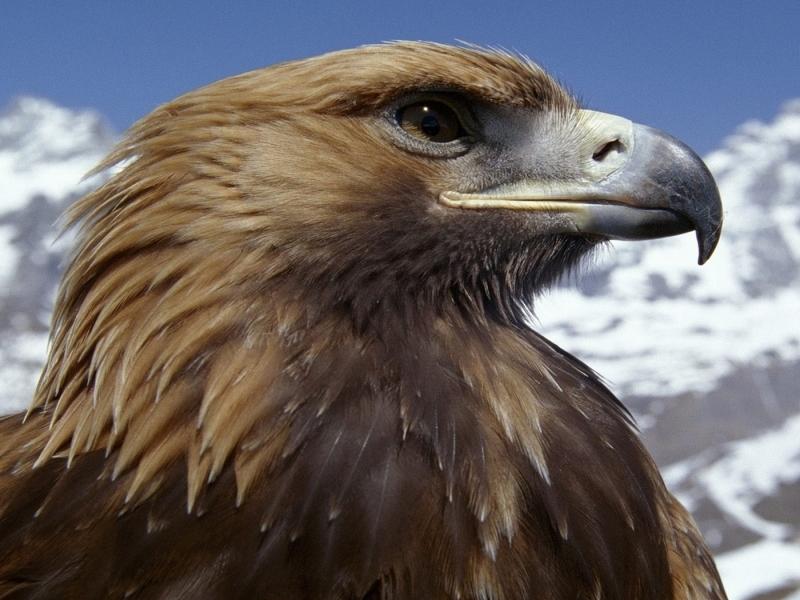 Aguila marron - 800x600