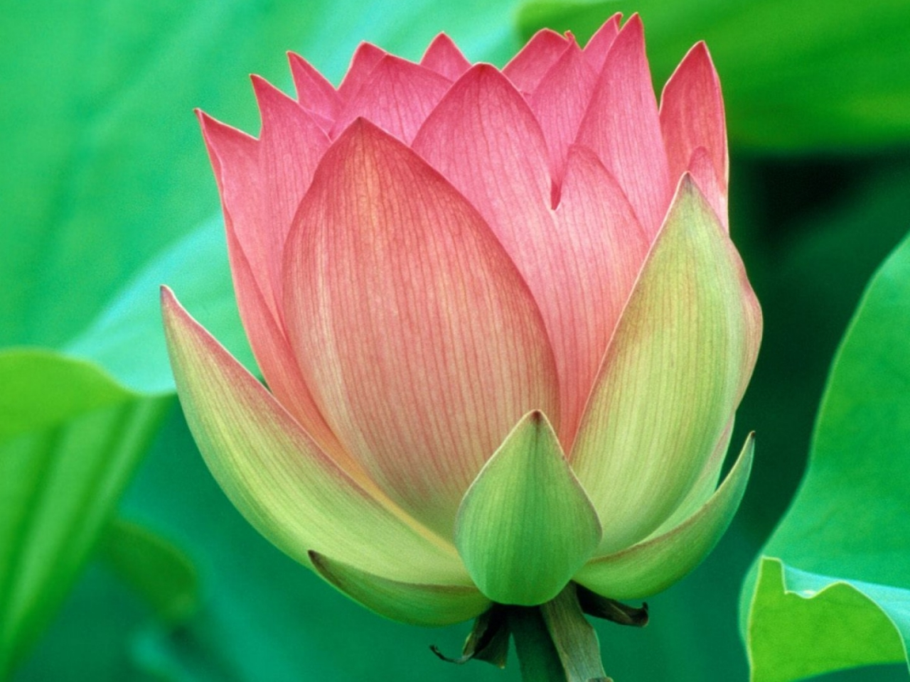 Bella flor - 1280x960