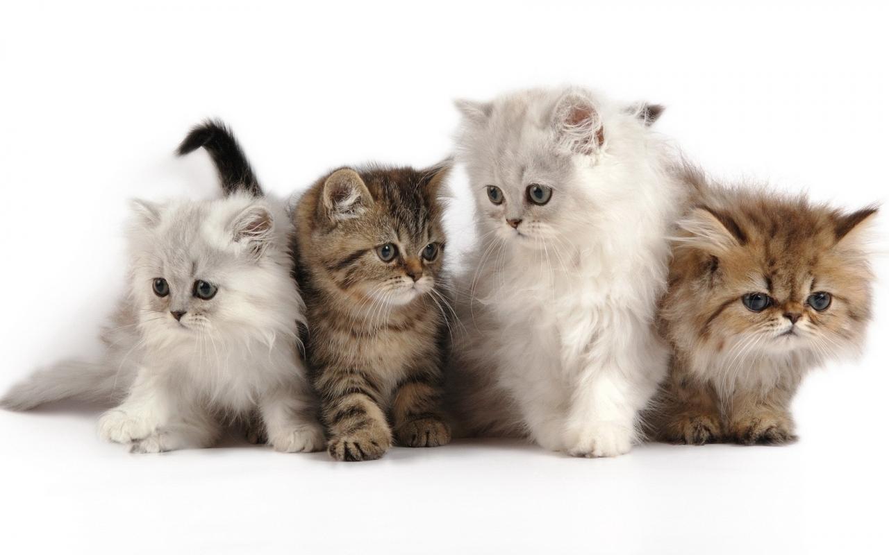 Bellos pequeños gatos - 1280x800