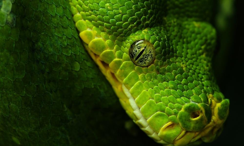 Cabeza de serpiente verde - 1000x600