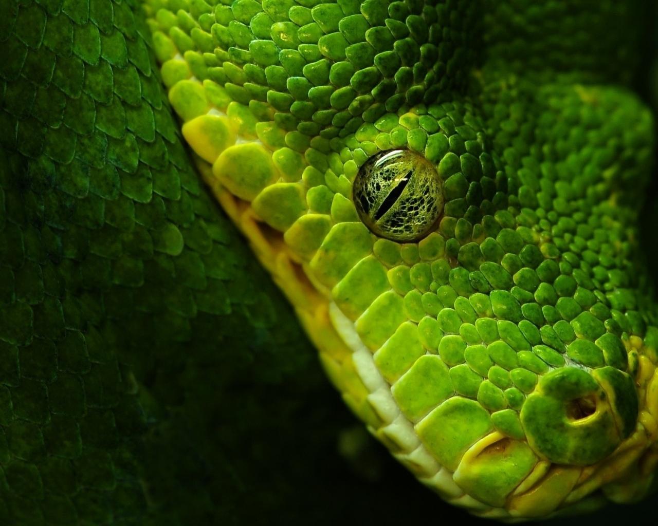 Cabeza de serpiente verde - 1280x1024