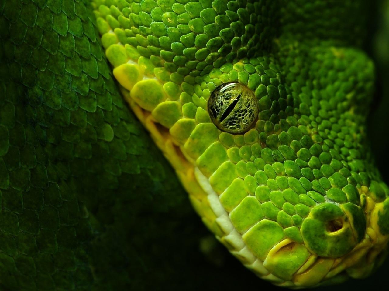 Cabeza de serpiente verde - 1280x960