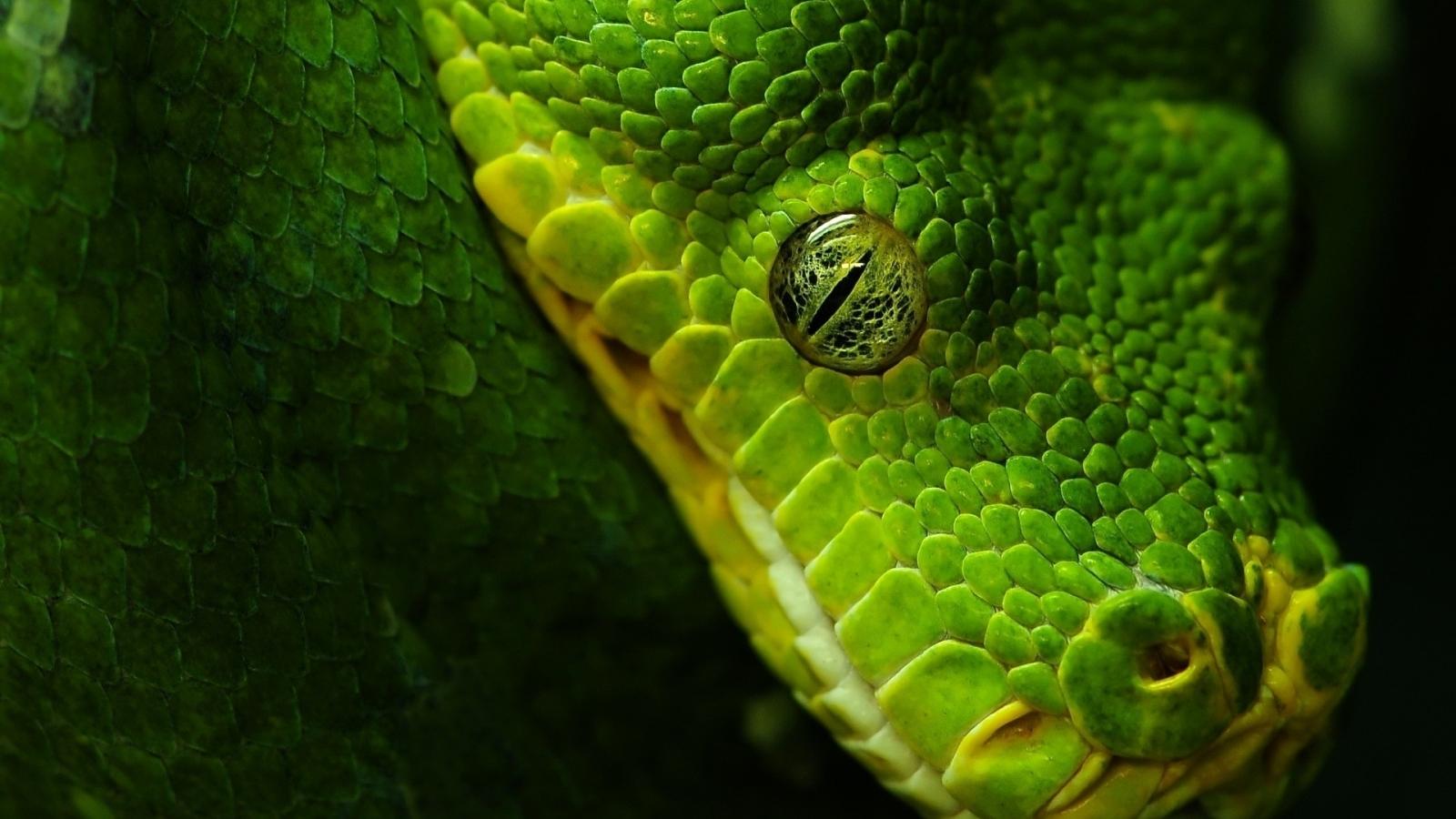 Cabeza de serpiente verde - 1600x900